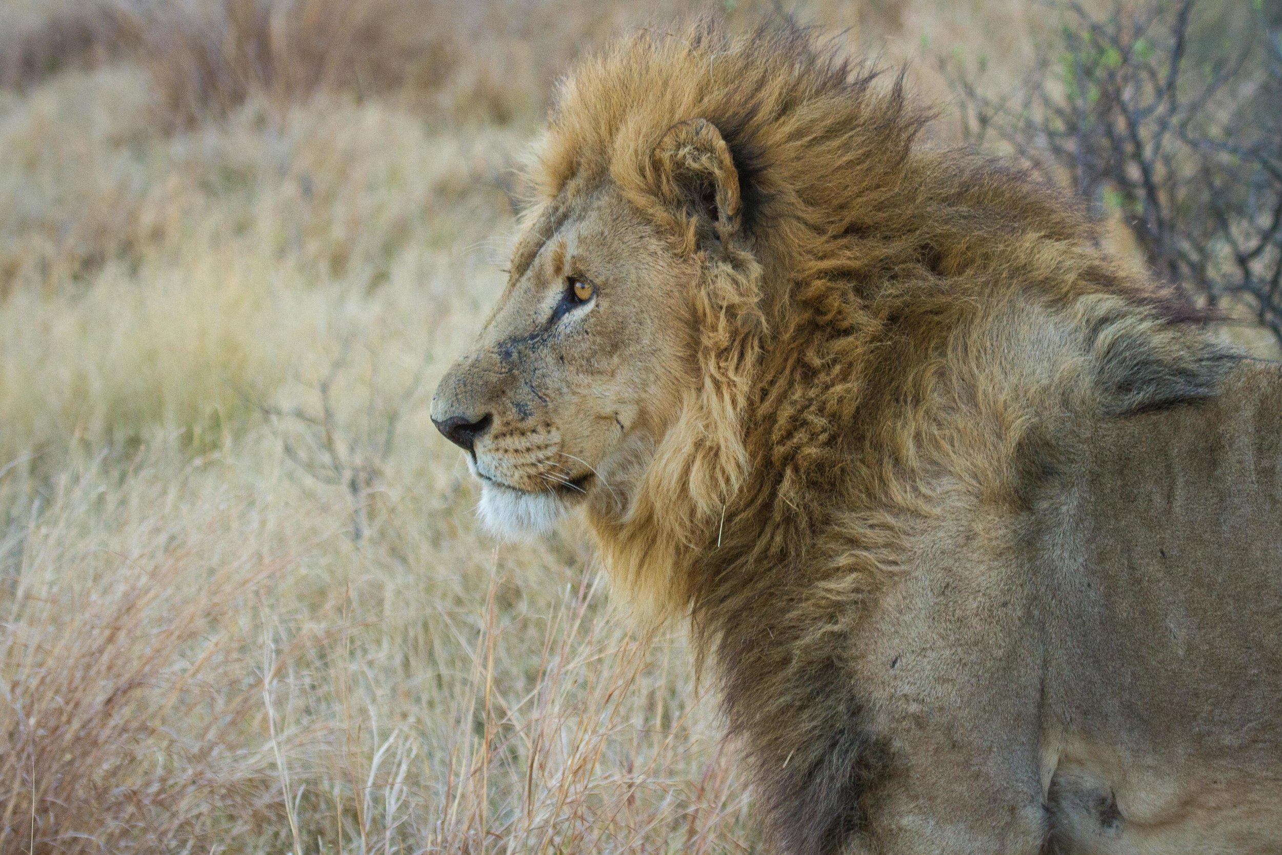 camp-xakanaxa-lion.jpg