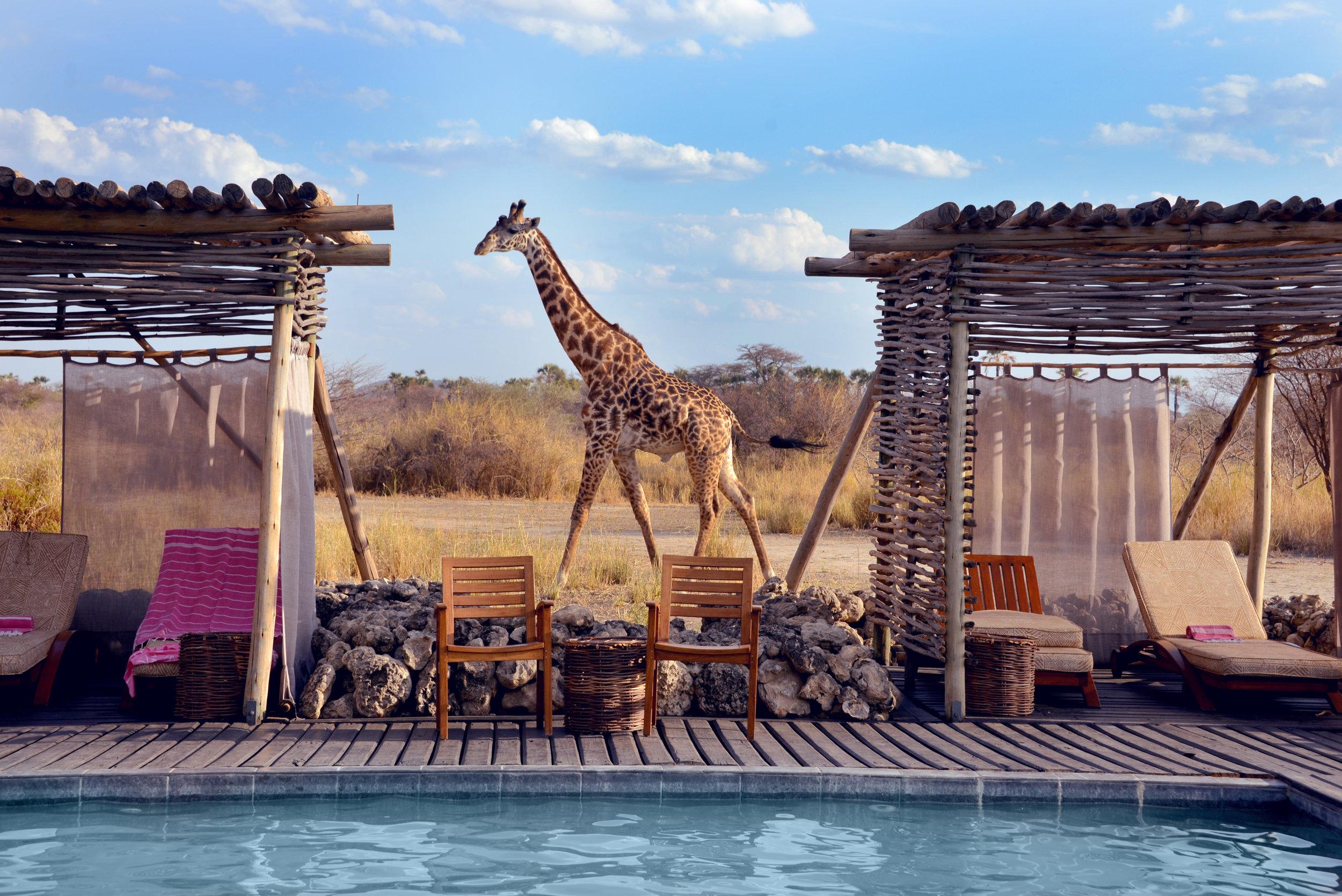 Giraffe By The Pool - Chem Chem Lodge