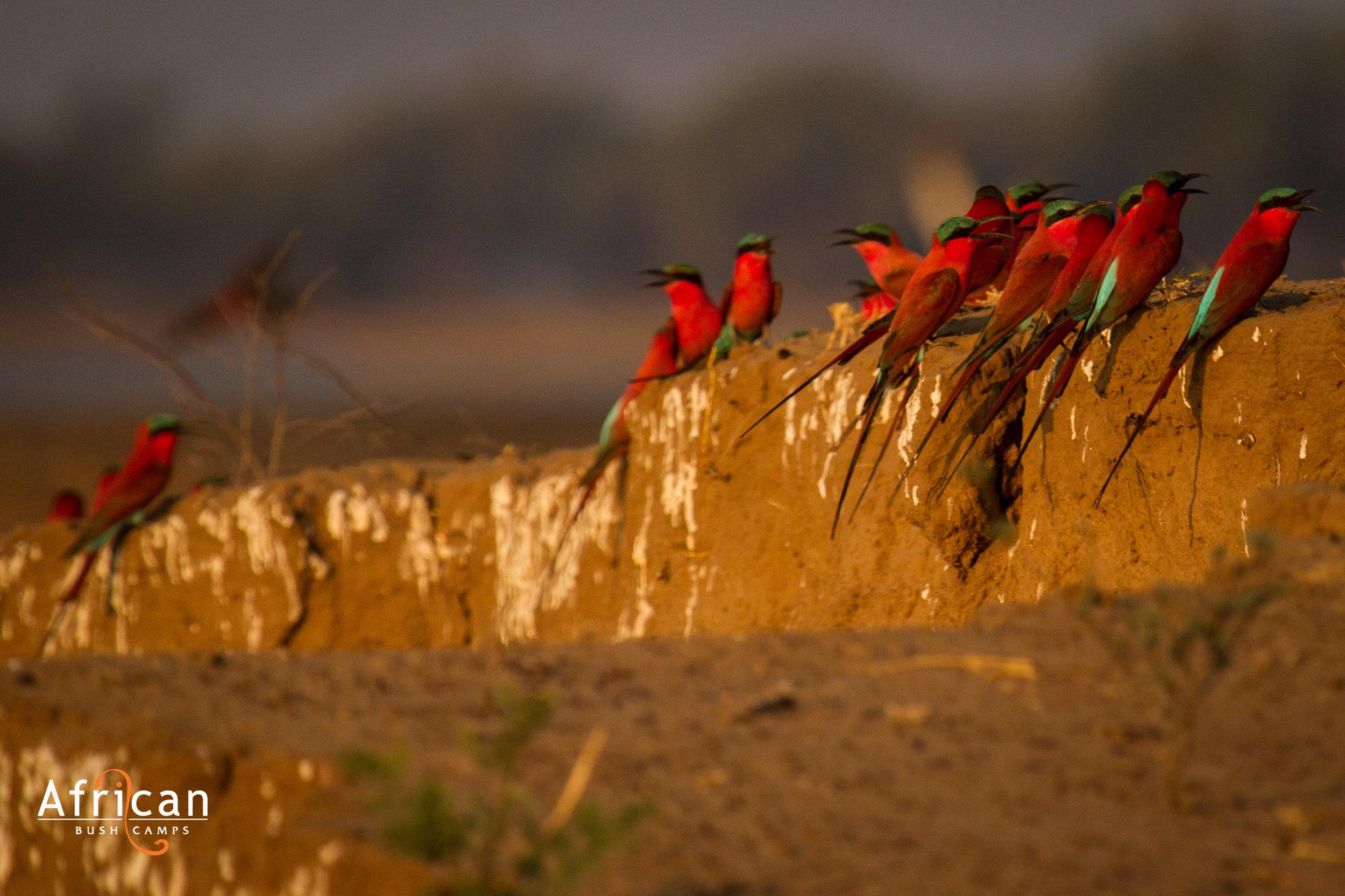 carmine_bee_eatters_zambezi_expeditions_mana_pools_national_park_zimbabwe_wildlife_safri_african_bush_camps.jpg