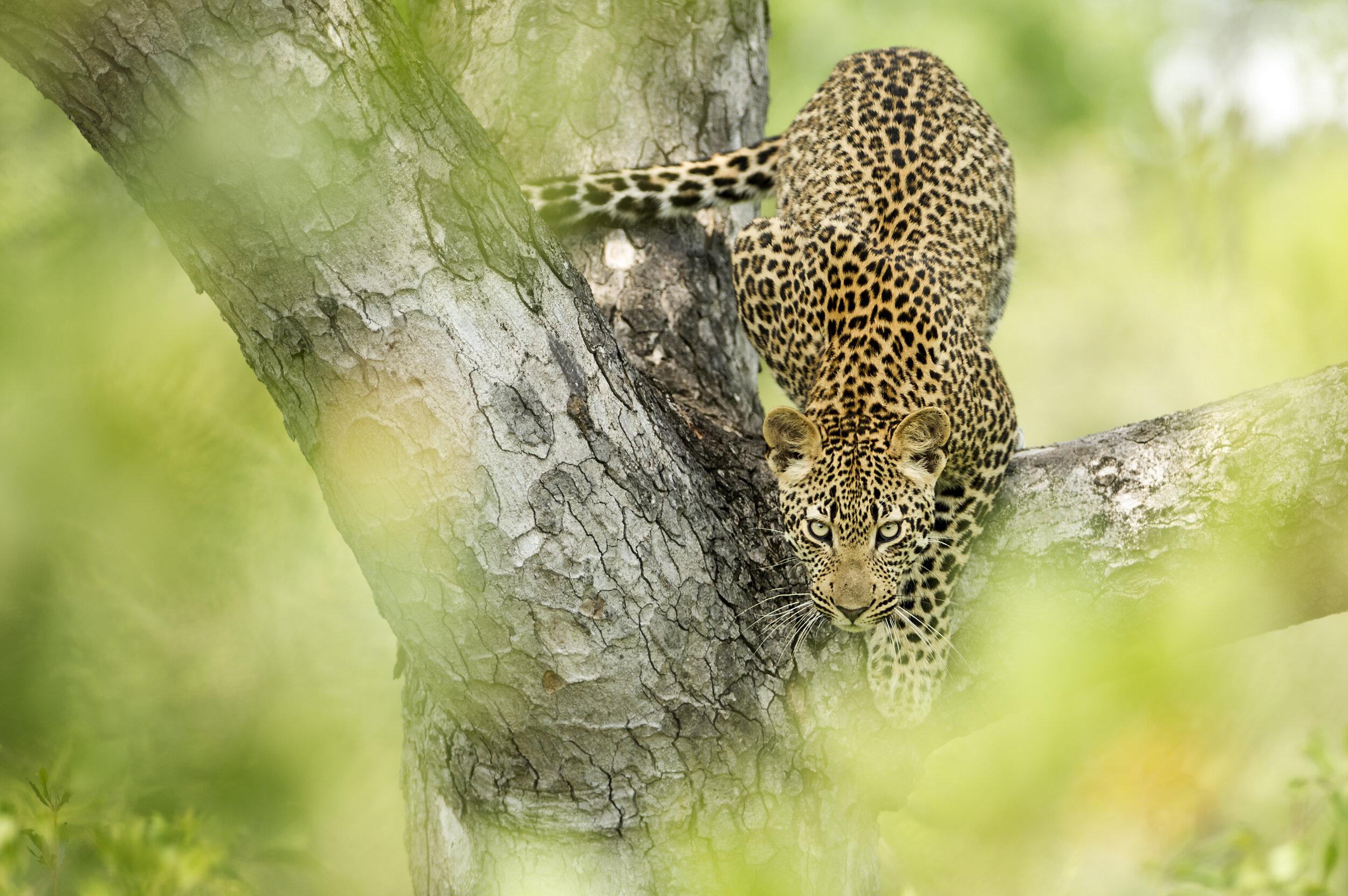 serengeti - grumeti reserves - tented camp - singita sebora plains