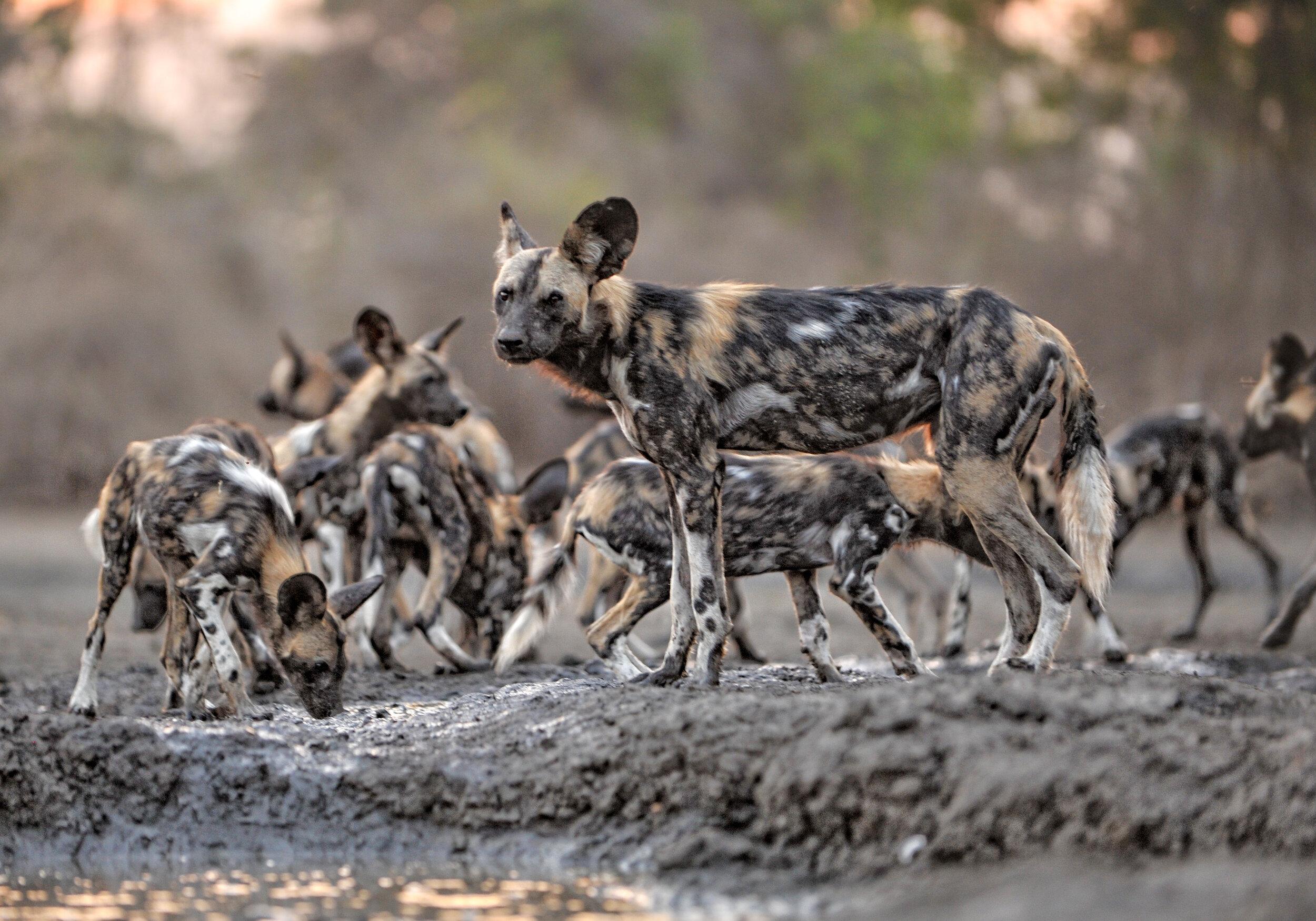 wilddogs_at_kanga_pan_kanga_camp_mana_pools_national_park_zimbabwe_wildlife_safari_african_bush_camps_2.jpg