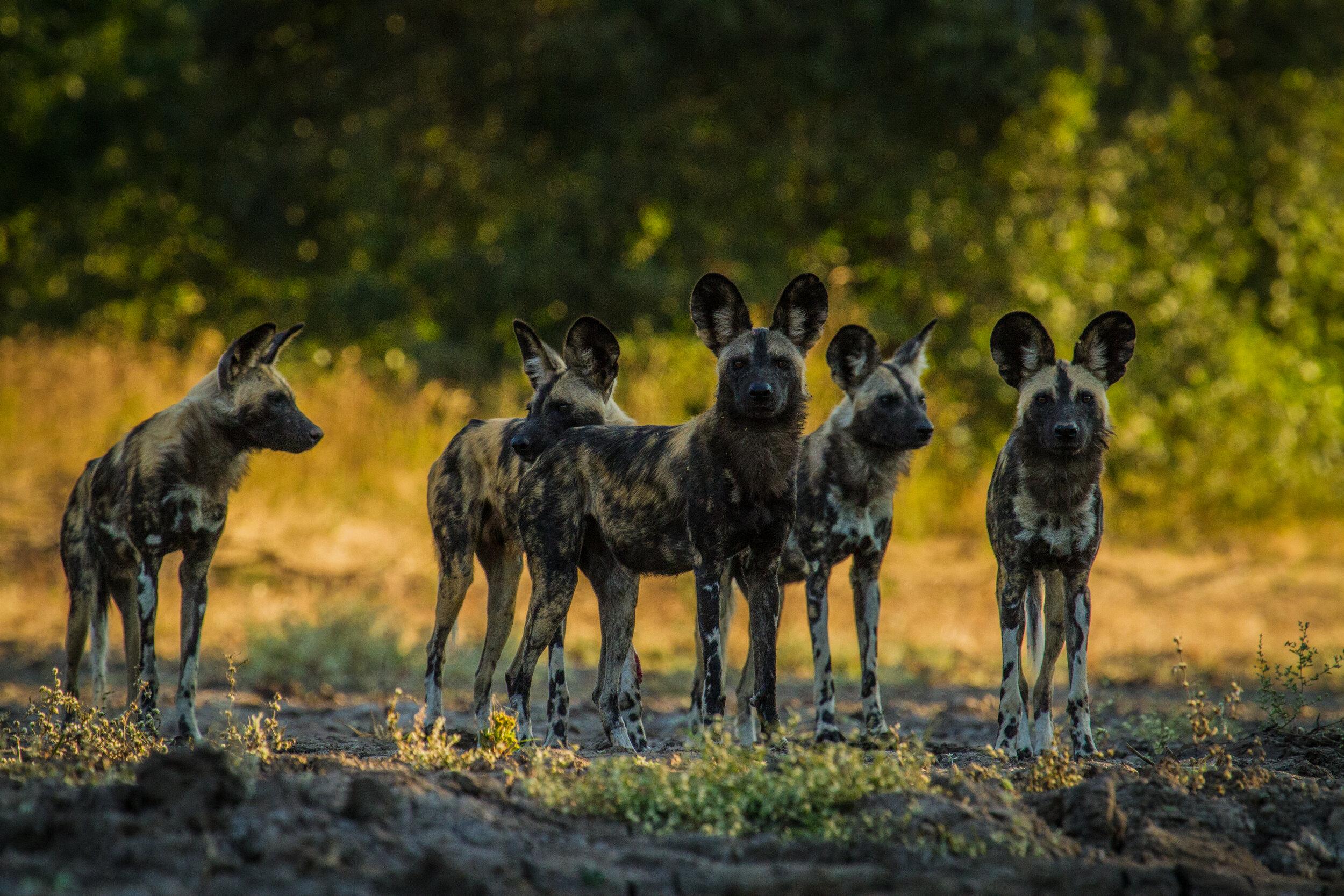 wild_dogs_mana_pools_national_park_zambezi_expeditions_african_bush_camps_zimbabwe_wildlife_safari.jpg