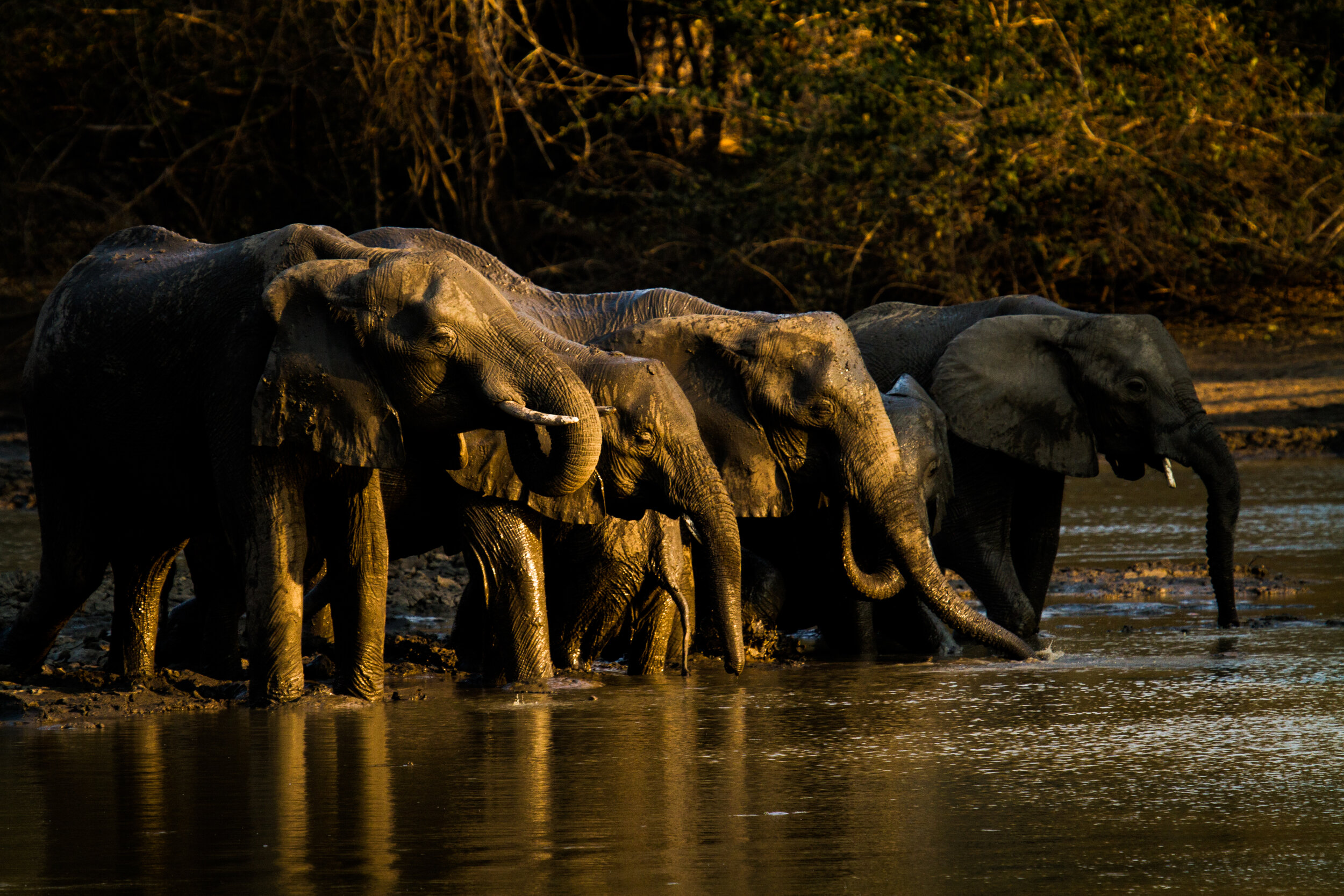 elephant_herd_drinking_from_kanga_pan_wateringhole_mana_pools_national_park_zimbabwe_wildlife_safari_african_bush_camps.jpg