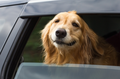 dog-in-car.jpg