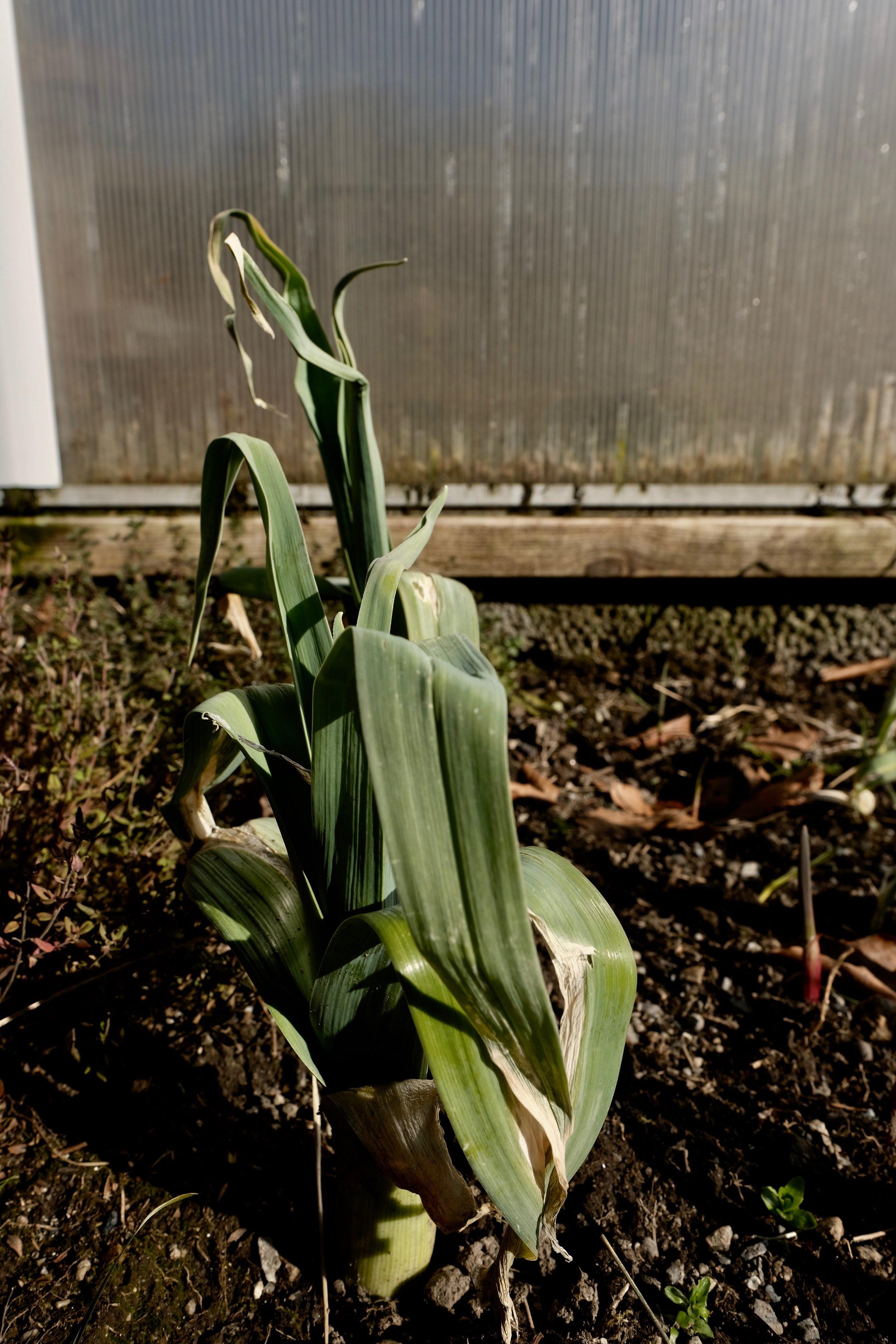 Etter at snjoen smelta viste det seg at purren stod der like fin. Så no et me fersk purre i april.