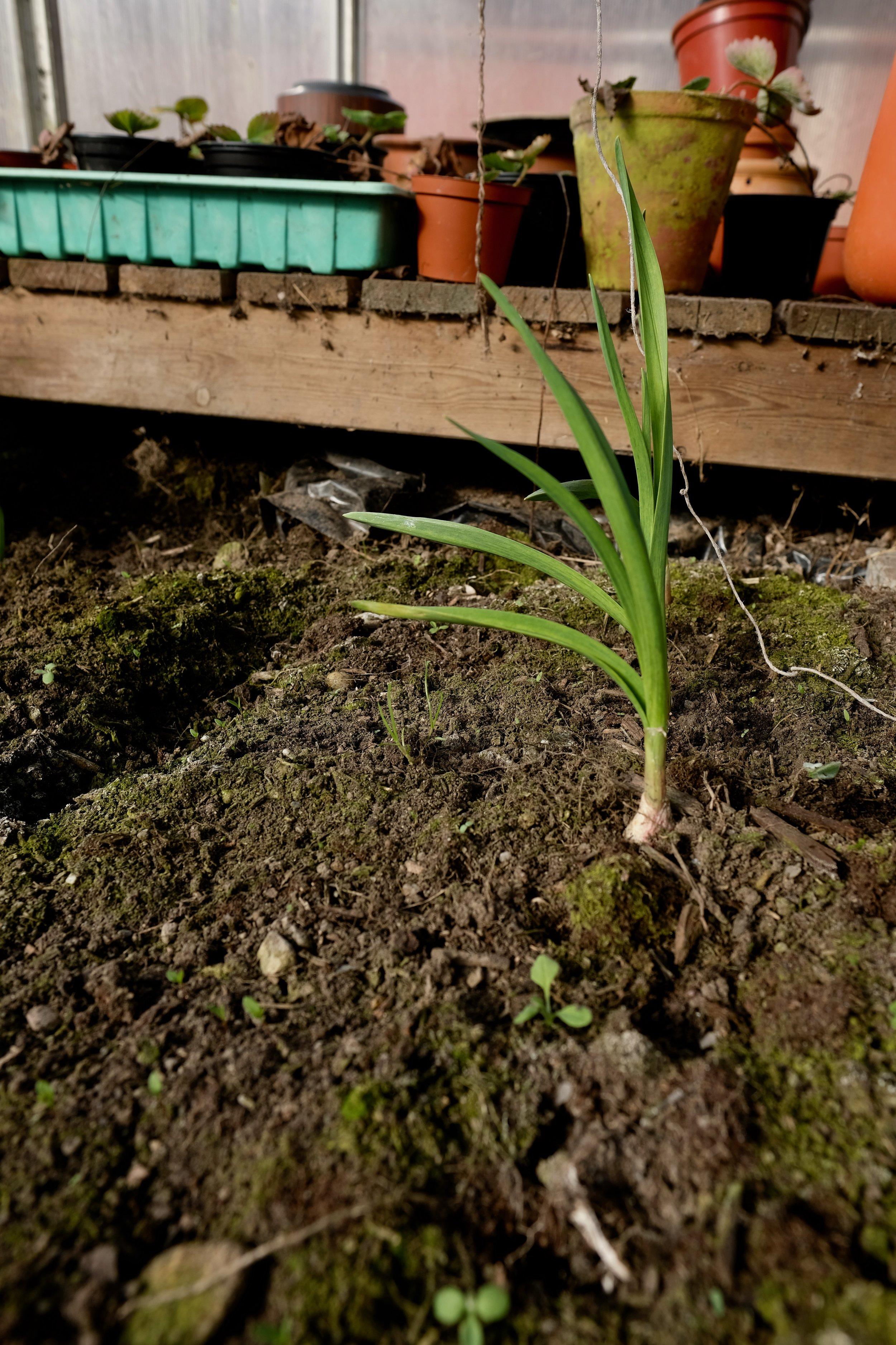 Både ute og inne i drivhuset veks det kvitlauk som vart sådd i haust.