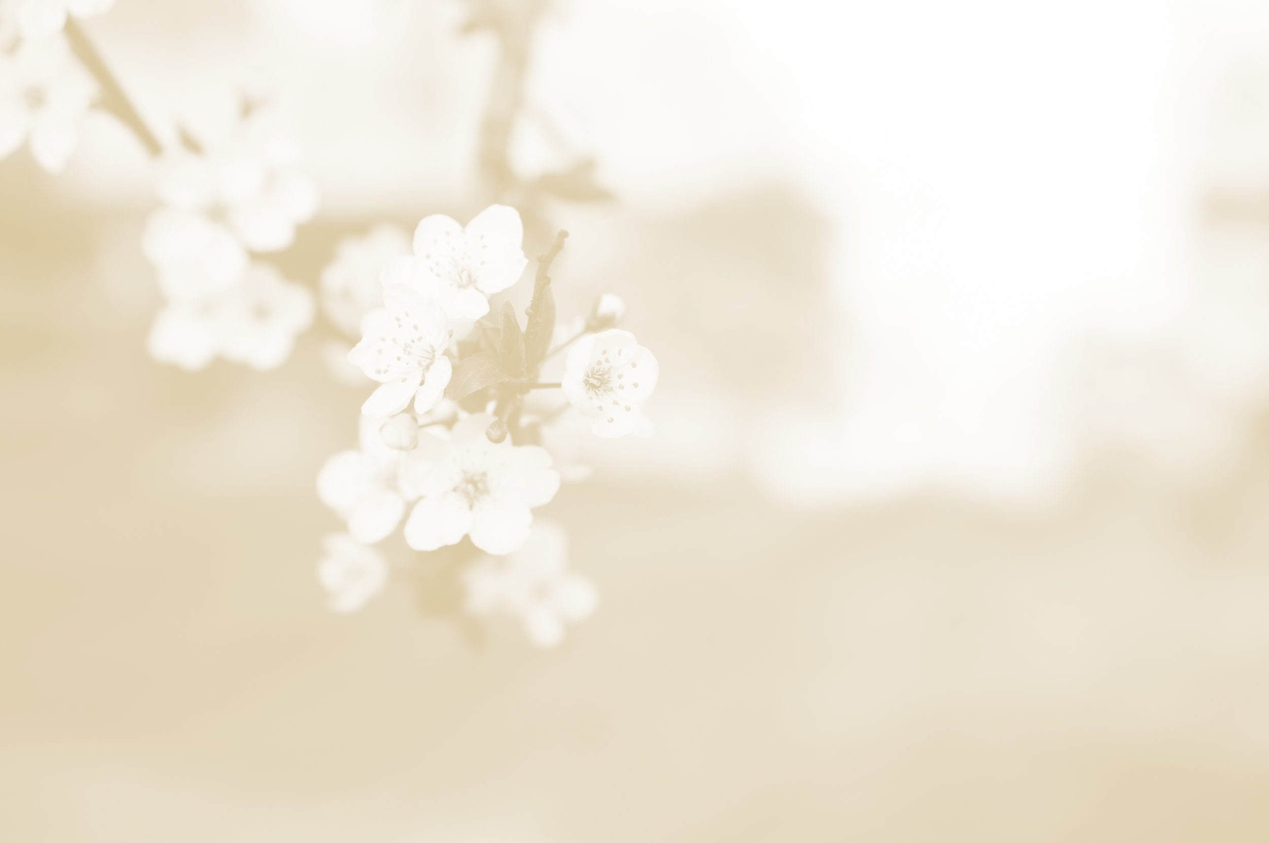 Close-up of cherry blossom. Photograph by Ryan Yao.