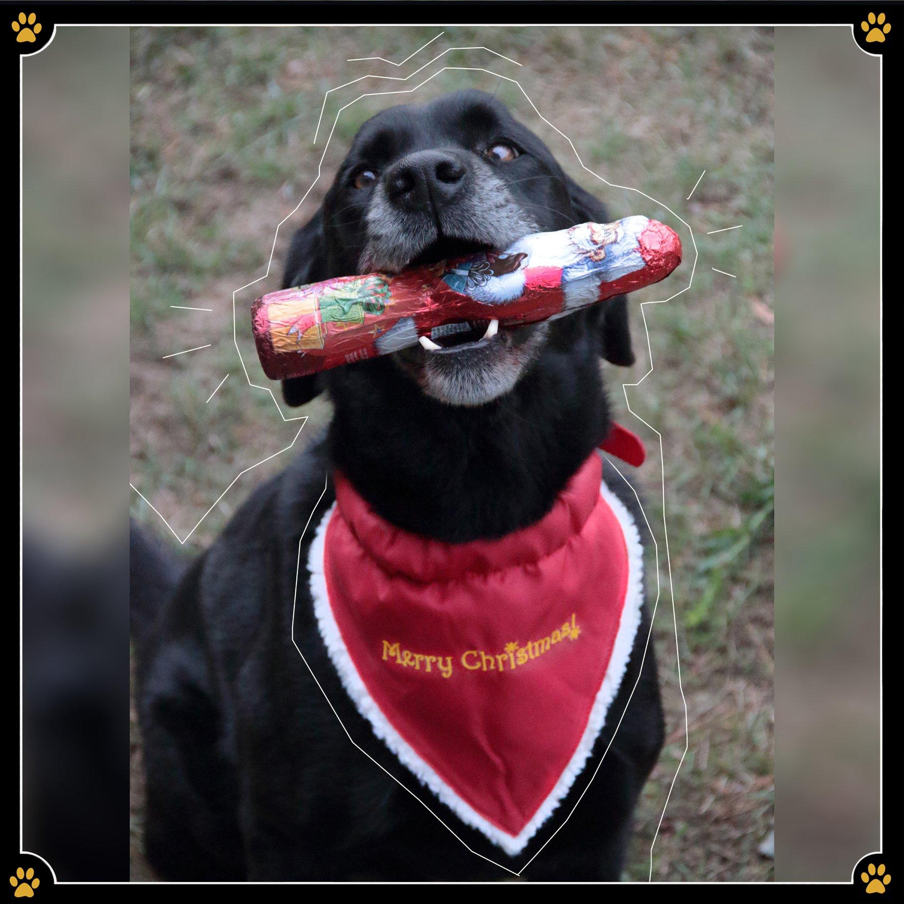 """3. Dezember - """"Oh nein, der Hund hat Schokolade gefressen. Wir müssen sofort zum Tierarzt!"""" schreit die Oma plötzlich. 😳 Erschrockene Gesichter blicken Sie vom Weihnachtsbaum an – dabei sollte doch gerade die Bescherung beginnen. 🎁Doch bevor nun die gesamte Familie in Panik verfällt sollte geklärt werden was für eine Schokolade der Hund überhaupt gefressen hat. Denn nicht die Schokolade, sondern der darin enthaltene Kakao, welcher den Wirkstoff Theobromin enthält, ist gefährlich. 🍫Von allen Schokoladensorten ist daher die Zartbitterschokolade für den Hund am giftigsten. Hier reichen schon bei einem 20kg schweren Hund, 25g dunkler Schokolade um zu Vergiftungserscheinungen zu führen. ☠️ Vollmilchschokolade und weiße Schokolade haben aber einen geringen, bis gar keinen Anteil an Theobromin und sind nur des Zuckers wegen nicht besonders gesund für den Hund. Also nicht gleich in Panik verfallen, sondern erst abklären um welche Schokolade es sich überhaupt gehandelt hat. Und im Zweifel geht man lieber einmal mehr zum Tierarzt als einmal zu wenig.💛"""