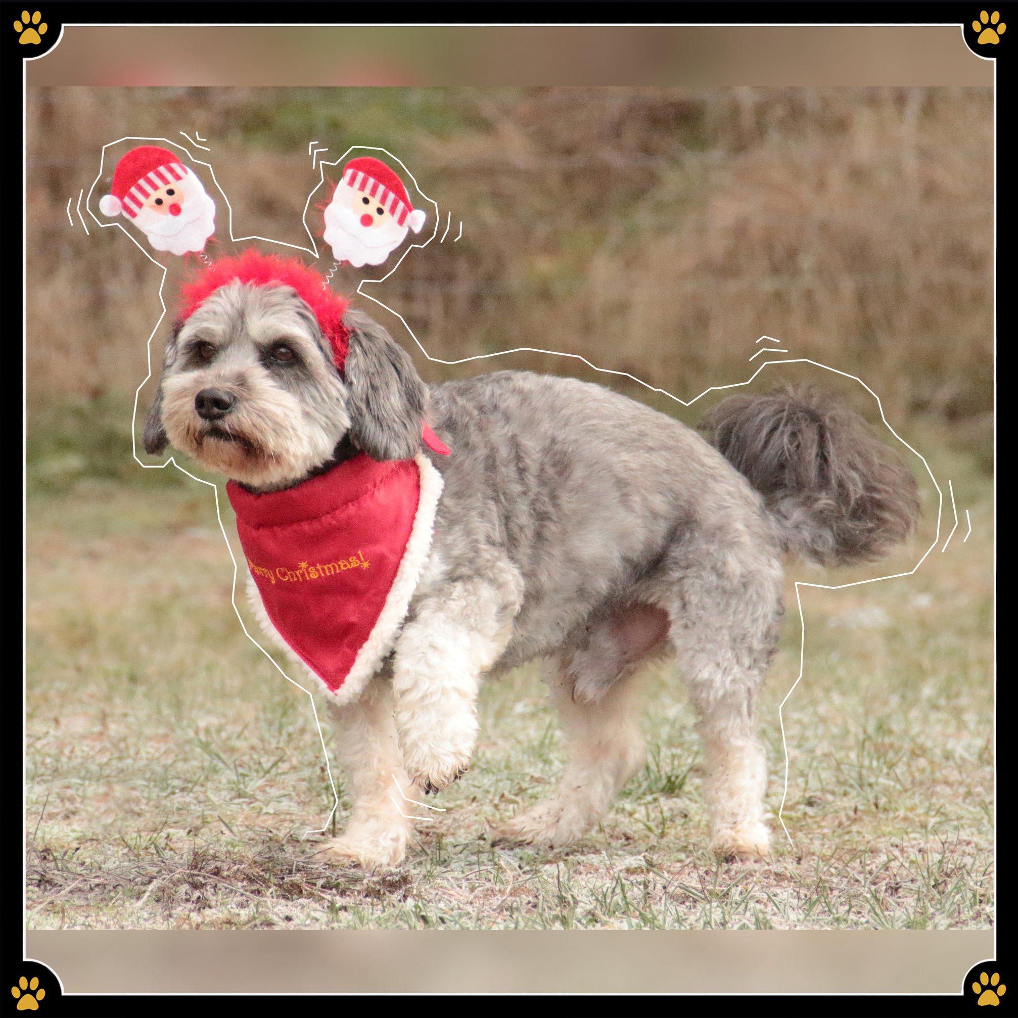 """4. Dezember - So süß, wie ein Hund in einem Kostüm auch aussehen mag - man sollte sich im Klaren darüber sein, dass sich kein Tier in einem Ganzkörperkostüm wohlfühlt. Besonders nicht, wenn nur der Kopf und die Pfoten herausgucken.😖 Man kennt es von sich selbst – wenn die Jacke klemmt und auch nach 10 Minuten nicht aufgehen will geraten wir in Panik. Bloß ziehen wir uns so etwas freiwillig an. Wenn ein Hund in ein einengendes Kostüm gezwängt wird, hat er weder eine Wahl, noch eine Möglichkeit herauszukommen. 🐕Von solchen Verkleidungen gilt es daher, aus tierfreundlicher Perspektive, Abstand zu halten.🙅Gegen ein Mäntelchen, einen """"Haarreif"""" oder ein Halstuch ist natürlich nichts einzuwenden, sofern diese mit Spiel und Spaß verbunden werden!💛"""