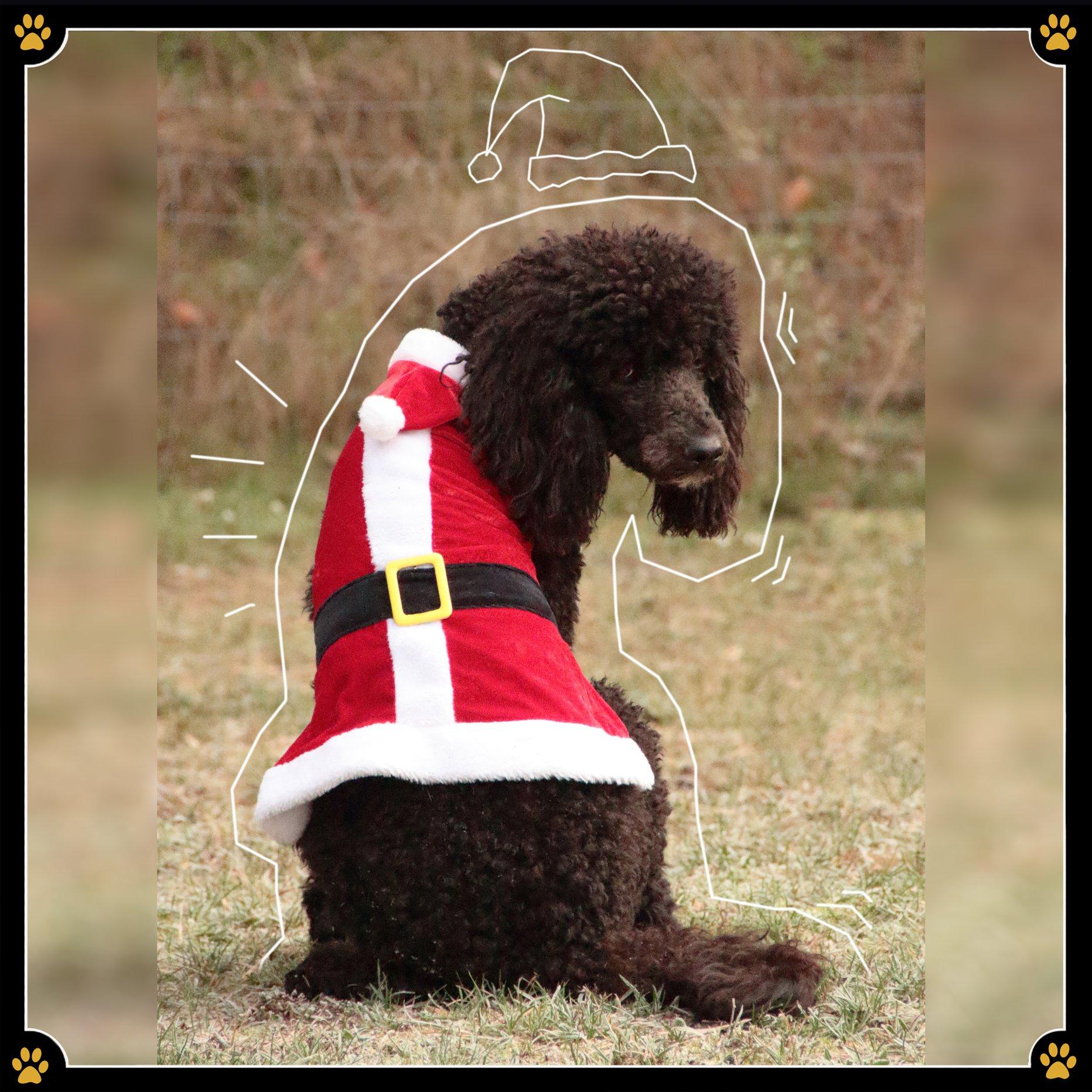 """10. Dezember - """"Ach, wie süß! Schau dir an wie süß du bist, mein kleiner Liebling!"""" sagt die Nachbarin zu ihrem Zwergpudel, der etwas hilflos durch den Garten humpelt.🐩 Dabei kann man sich nun wirklich darüber streiten, ob dieser Ganzkörperanzug, der den Hund wahrscheinlich in einen Hirsch verwandeln sollte, auch wirklich das erzielt was er eigentlich sollte.🦌 Abgesehen davon, dass die Körperhaltung des Pudels eher einem Häufchen Elend als einem majestätischen Hirsch ähnelt, ist dieses Kostüm auch nicht besonders tierfreundlich. Denn Tierkostüme sollten das Tier auf gar keinen Fall in seiner Bewegung einschränken. Manchmal ist weniger einfach mehr! Schon ein kleines Mäntelchen oder eine dezente Kopfbedeckung genügen meist völlig, um dem Tier optisch einen weihnachtlichen Charakter zu verleihen – mal ganz abgesehen vom menschlichen Spaßfaktor. So wird Weihnachten auch für ihren Hund ein angenehmes Event.💛"""