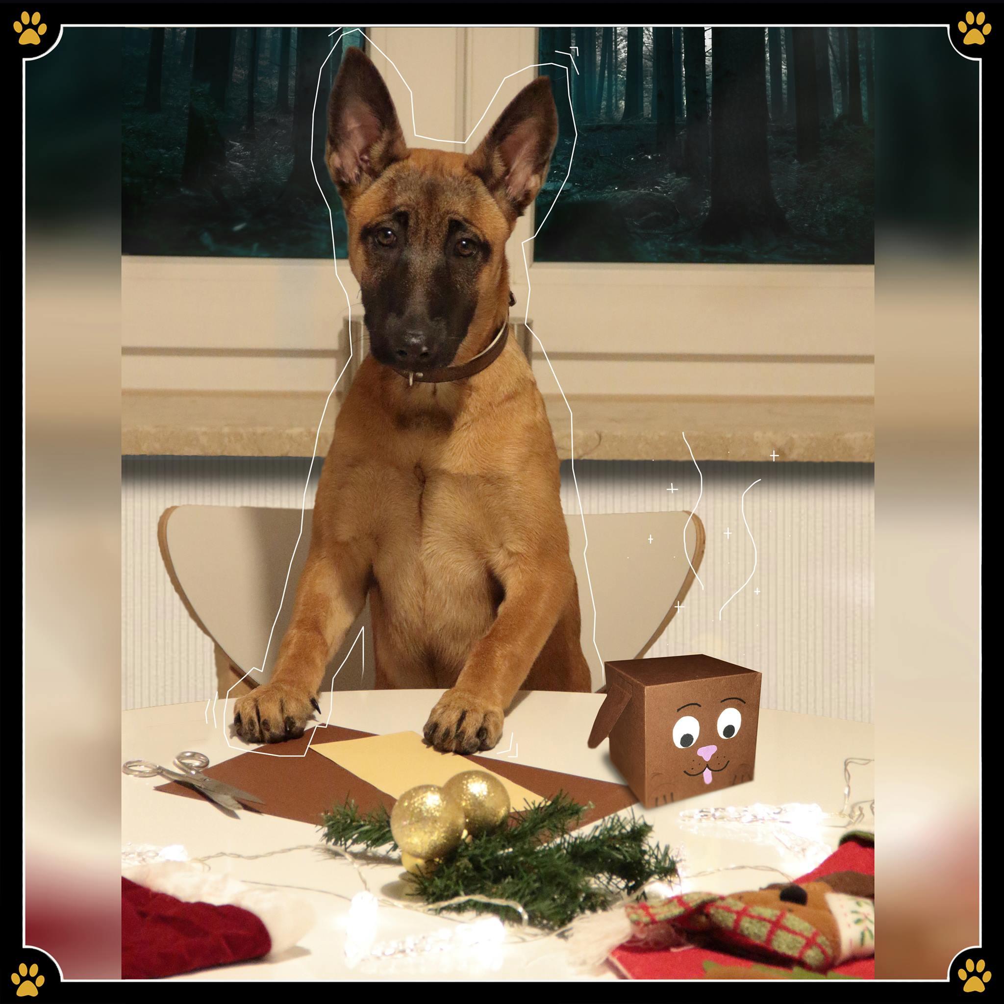 """21. Dezember - """"Na toll, ich muss noch Geschenke einpacken"""", hört man die Leute in letzter Zeit oft sagen. 🎁Das, was viele als schreckliche, eintönige Aufgabe ansehen muss aber gar nicht so öde sein! Denn eigentlich kann man beim Geschenke einpacken mal so richtig kreativ werden. 💛Ihr beschenkt einen anderen Hundebesitzer oder Hundeliebhaber? 🐾Wieso dann nicht das simple Geschenkpapier durch eine Geschenkverpackung im Hundedesign ersetzen? Das sieht nicht nur süß aus, sondern ist dazu mal eine echte Abwechslung zu all den anderen Geschenken. 😯Um es euch zu demonstrieren hat der Malinois Cute mal selbst so ein kreatives Geschenk gebastelt. 😊"""