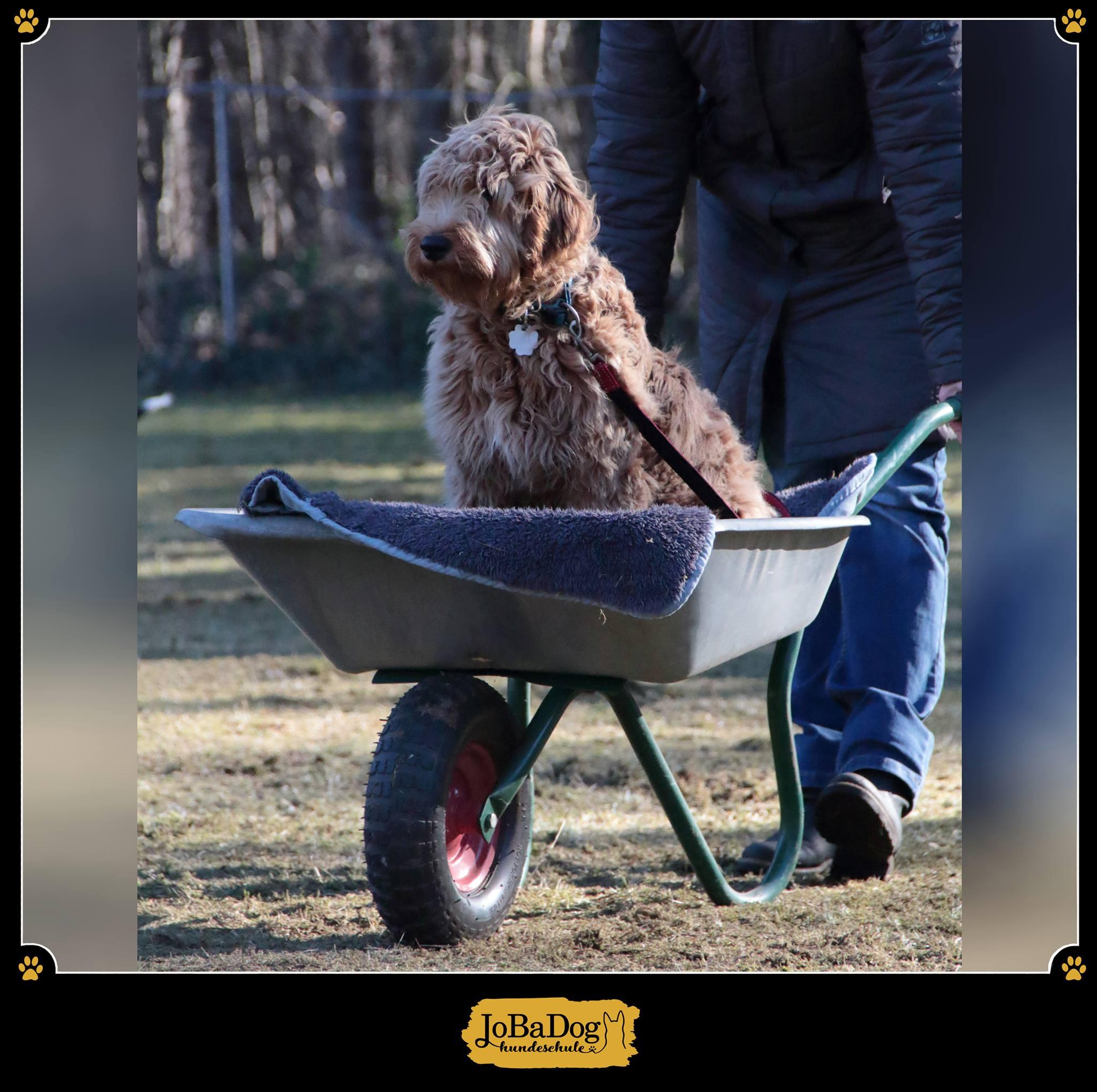 Den Hund in einer Schubkarre schieben:😄 - Ein lustiger Anblick, doch für den Hund gar nicht so einfach zu lernen. Denn wenn es wackelt, kracht und glatt ist, kann nur das Vertrauen in den Besitzer dem Hund zur Ruhe verhelfen. 💛Im Notfall kann dieser Trick helfen, denn manche Hunde kann man nach Operationen schlecht auf dem Arm tragen. 🐕So kann man mit einer lustigen Übung viel Kraft und Stress für den Hund sparen. 😊
