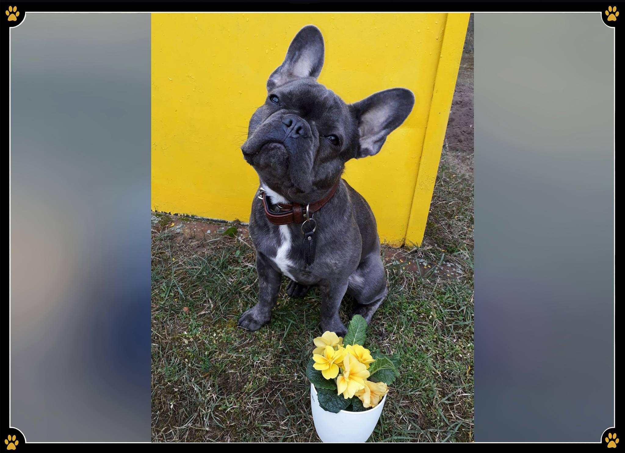 JoBaDog_Französische_Bulldogge_2.jpg