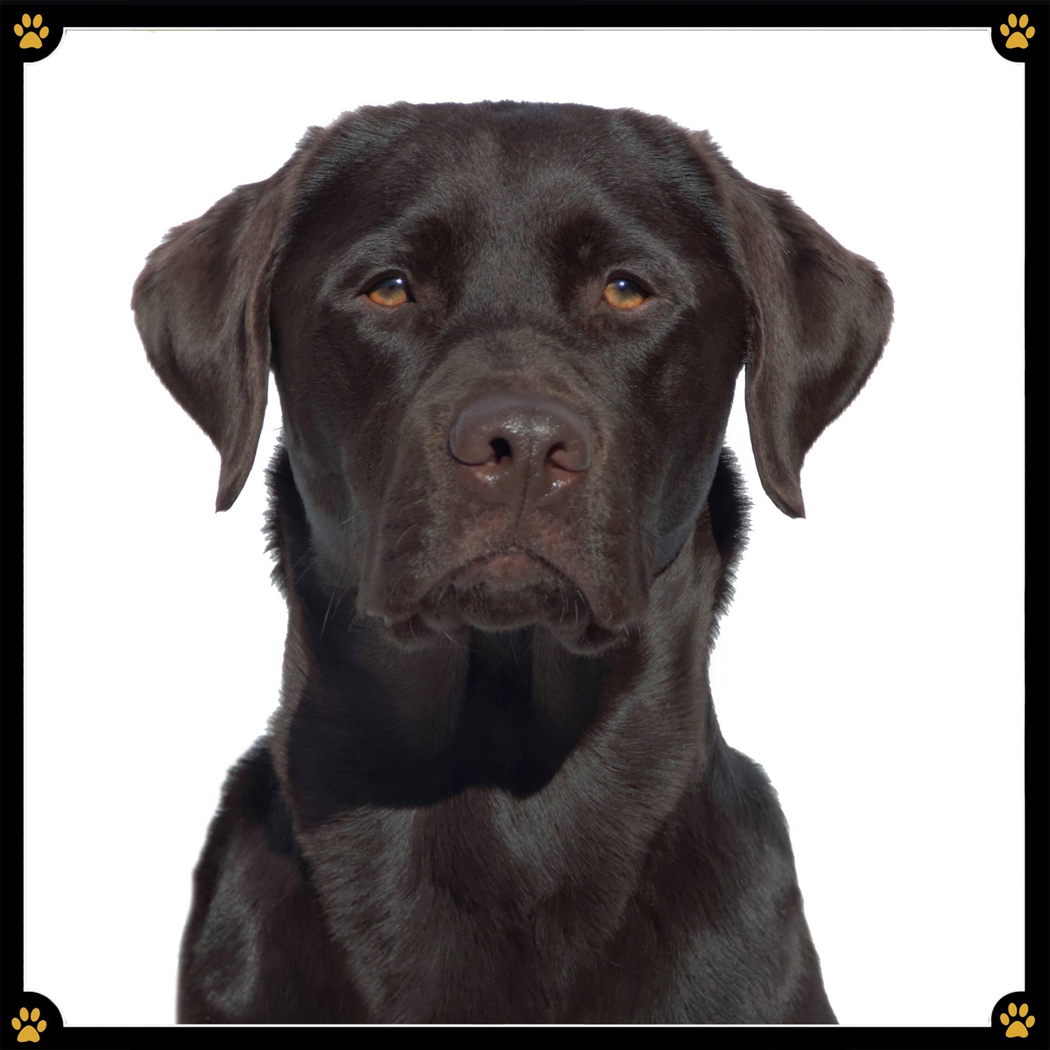 """Spätestens seit """"Marley und Ich""""… - …steht er ganz oben auf der Hitliste der beliebtesten Familienhunde: Der Labrador Retriever. 💛Sportlich und gut gelaunt – das wäre wohl die kürzeste Beschreibung des menschenbezogenen und vor allem kinderlieben Begleiters. Dabei kann der freundliche und intelligente Hund in Wirklichkeit viel mehr als nur spielen. 😜Er hat einen großen Arbeitswillen und ist äußerst gelehrig. 👨🏻🎓 Selbst Anfängern nimmt er erste Erziehungsfehler nicht übel. Sein ausgeprägter """"will-to-please"""" macht die Arbeit mit ihm einfach und sie wird zu einer erfüllenden Freizeitbeschäftigung für die ganze Familie.😄Er ist von Natur aus bemüht, zu verstehen, was seine Bezugsperson von ihm erwartet. Diese Kooperationsbereitschaft sollte stets gefördert werden - so lernt der Hund mit großer Motivation gern neue Kommandos und folgt seinem Rudel bedingungslos. 💞Wer ihn allerdings """"nur"""" dabei sein lässt, ihn nicht beschäftigt und seinem Lerntrieb nicht nachkommt, der läuft Gefahr irgendwann mit einem dieser nichtabrufbaren """"Tutnixe"""" spazieren zu gehen, denen wir alle schon beim Spaziergang begegnet sind. 😉"""