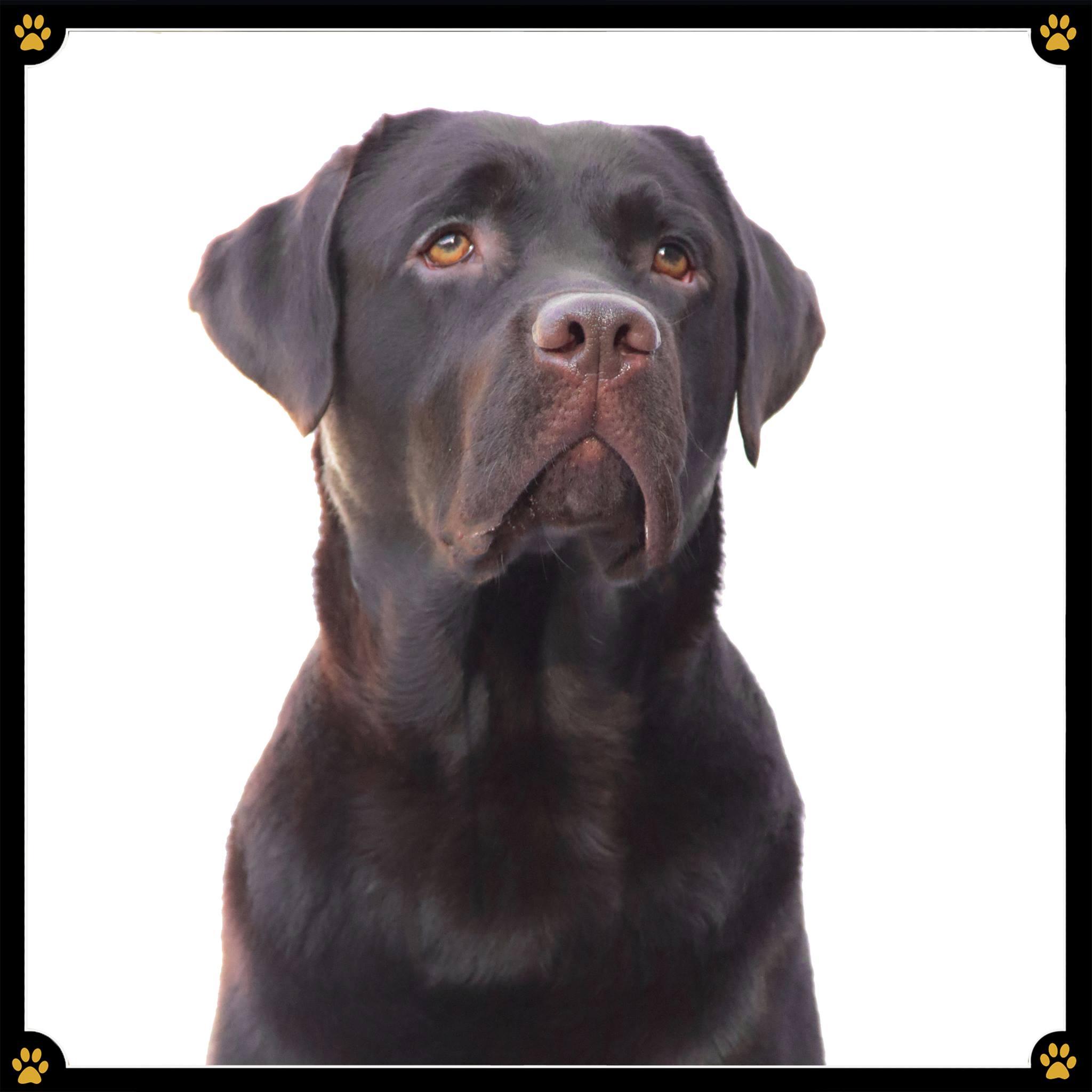 JoBaDog_Labrador_Retriever_2.jpg