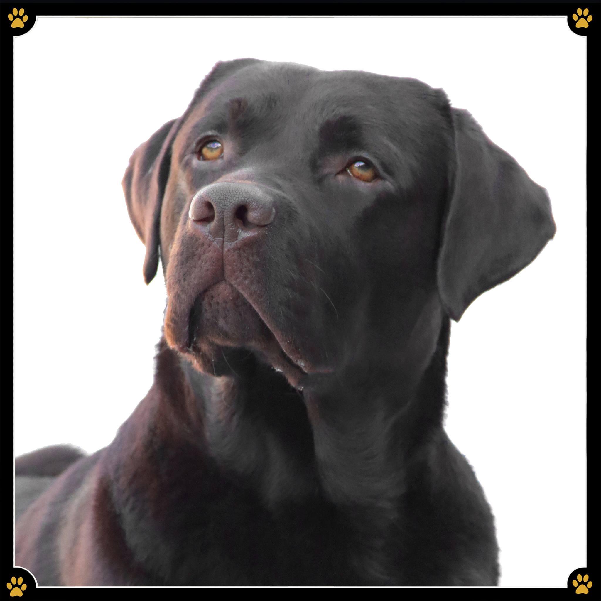 JoBaDog_Labrador_Retriever_3.jpg