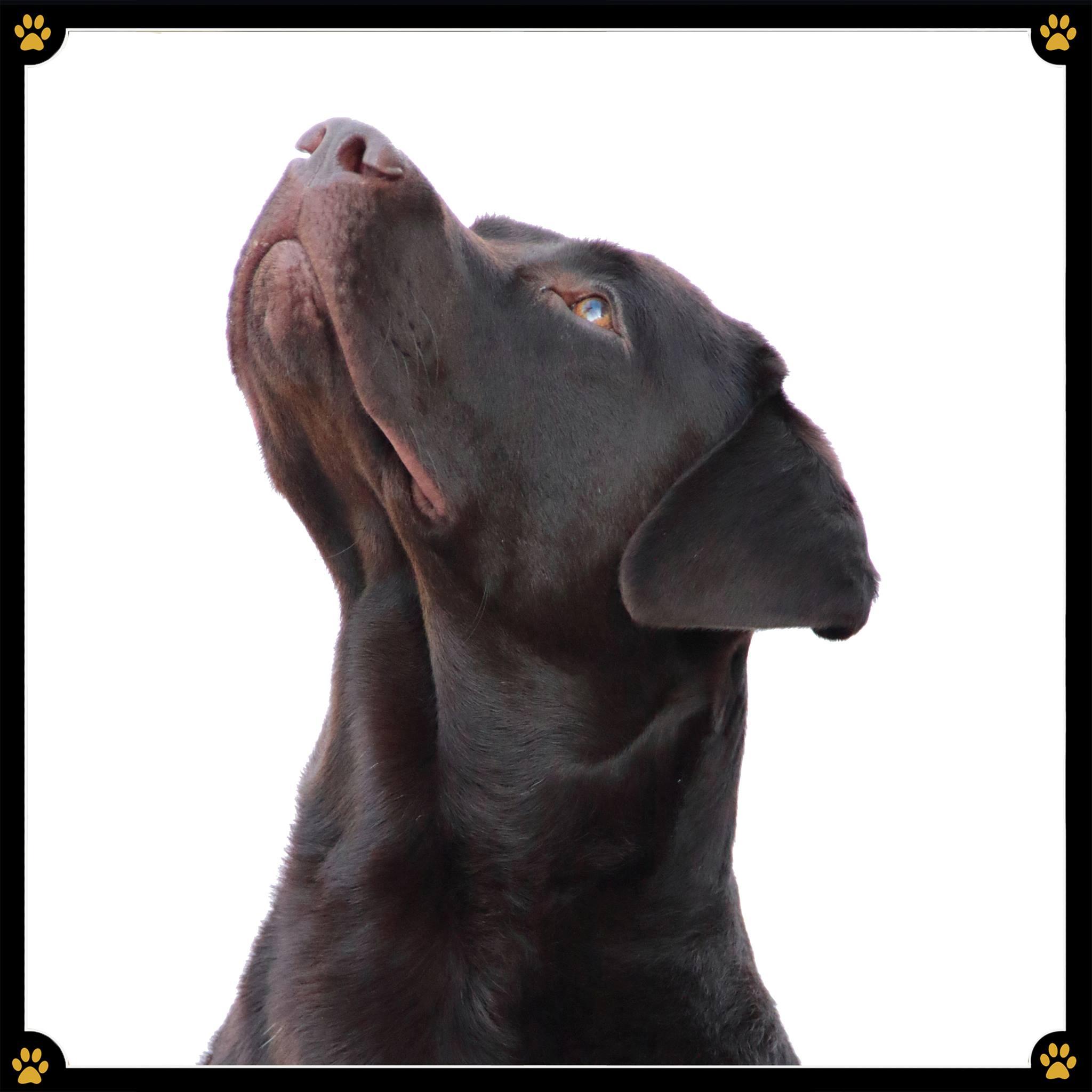 JoBaDog_Labrador_Retriever_4.jpg
