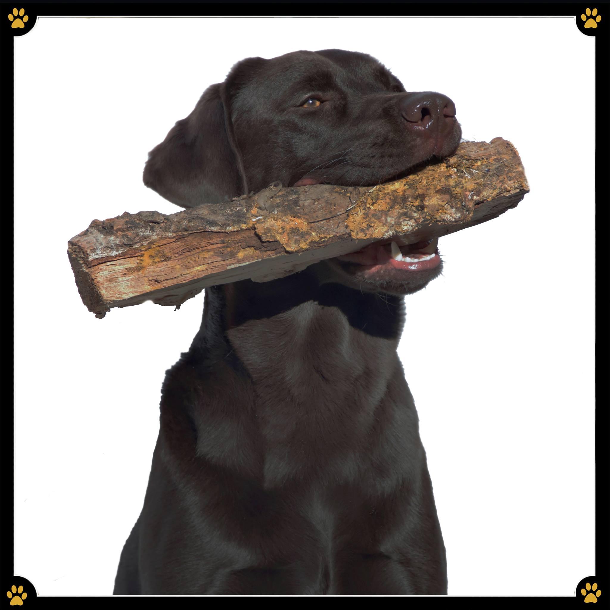 JoBaDog_Labrador_Retriever_5.jpg