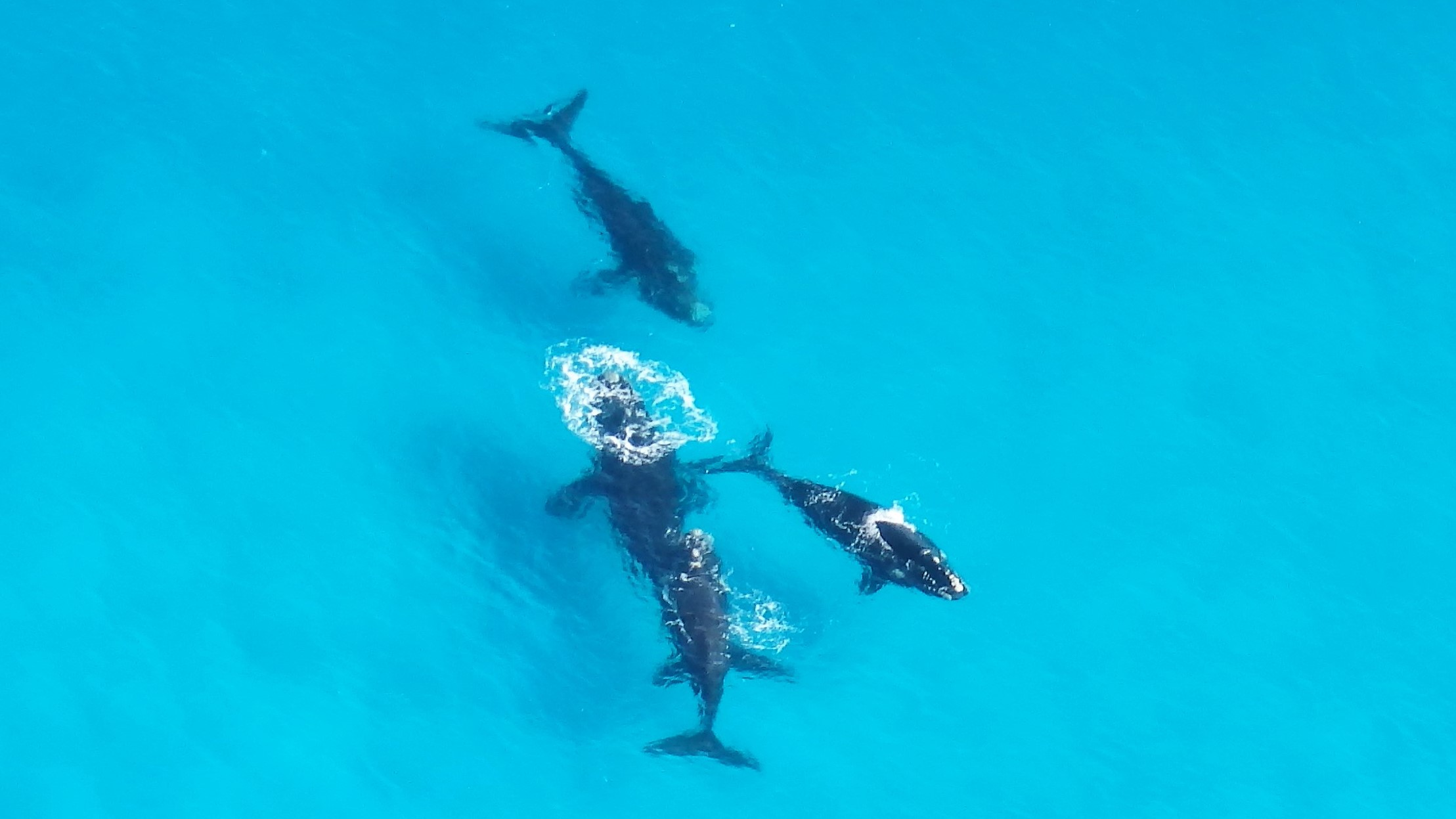 Southern Right Whales in Yokinup Bay