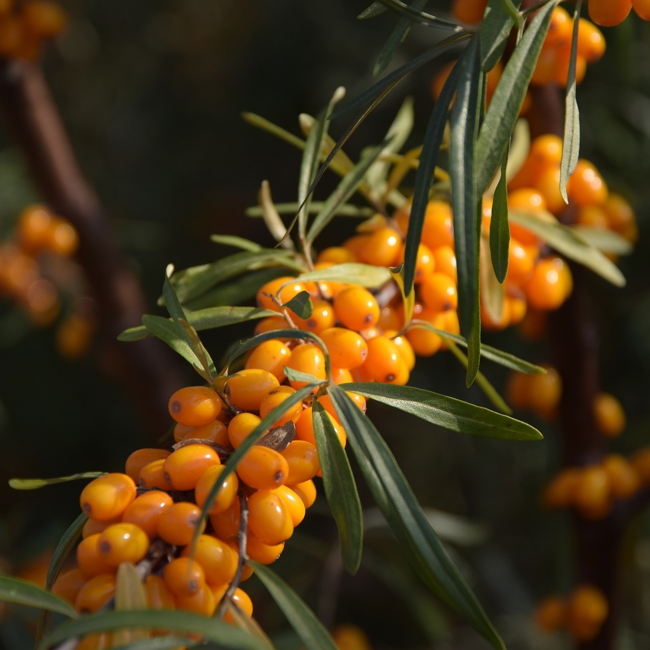 sea-buckthorn-2911630_1920.jpg