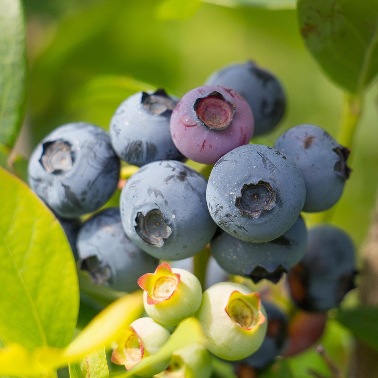 blueberry-2281677_1920.jpg