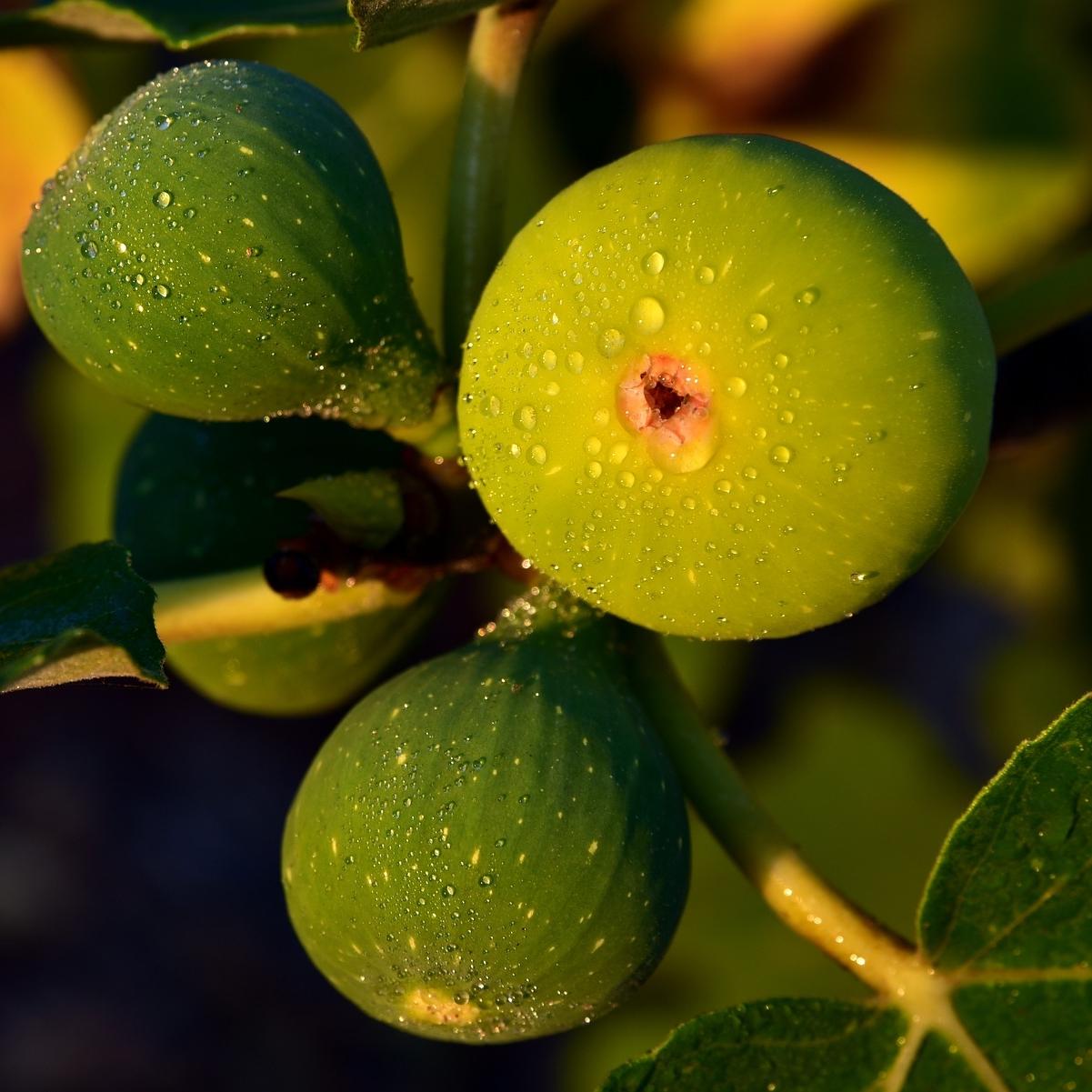 figs-3615515_1920.jpg