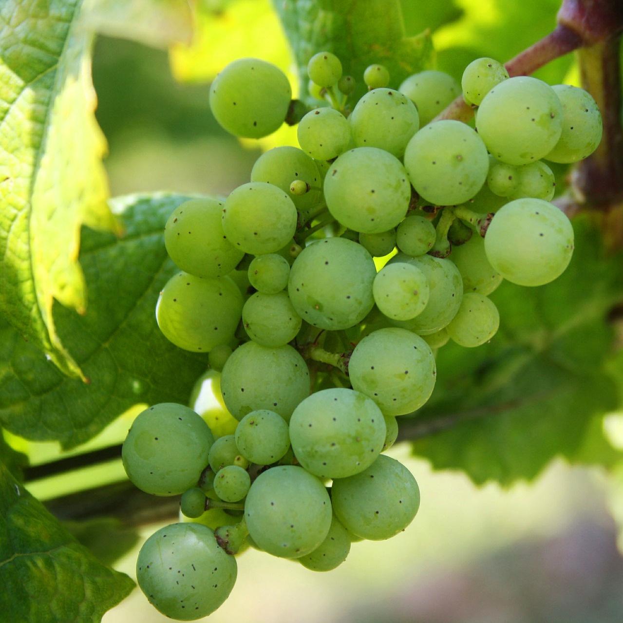 grapes-439300_1920.jpg