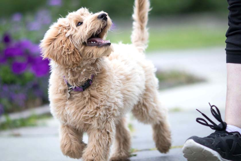 Young Labradoodle walking in a heel position and giving great eye contact to their owner