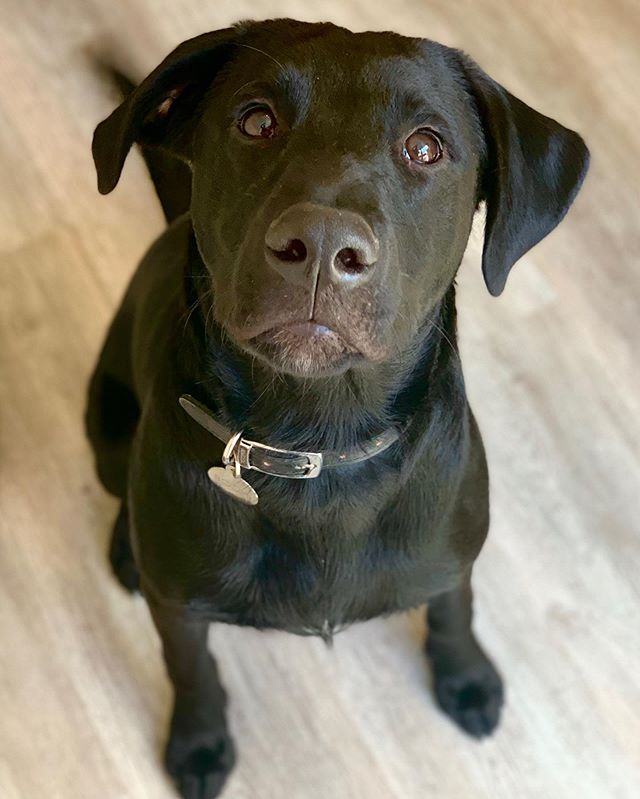 Meet Bodhi, a seven month Lab Cross. The cross is possibly kangaroo 🦘 Bodhi has bundles of energy, but we're gonna help him keep it on the floor with some mat training, orientation games and loose lead walking. 12/10 Bodhi, and 100% pure adrenaline!