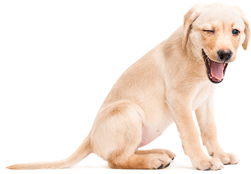 It's so much easier to train a puppy that it is to retrain a dog who's learnt bad habits. Get it right from day one with our one-to-one puppy package.