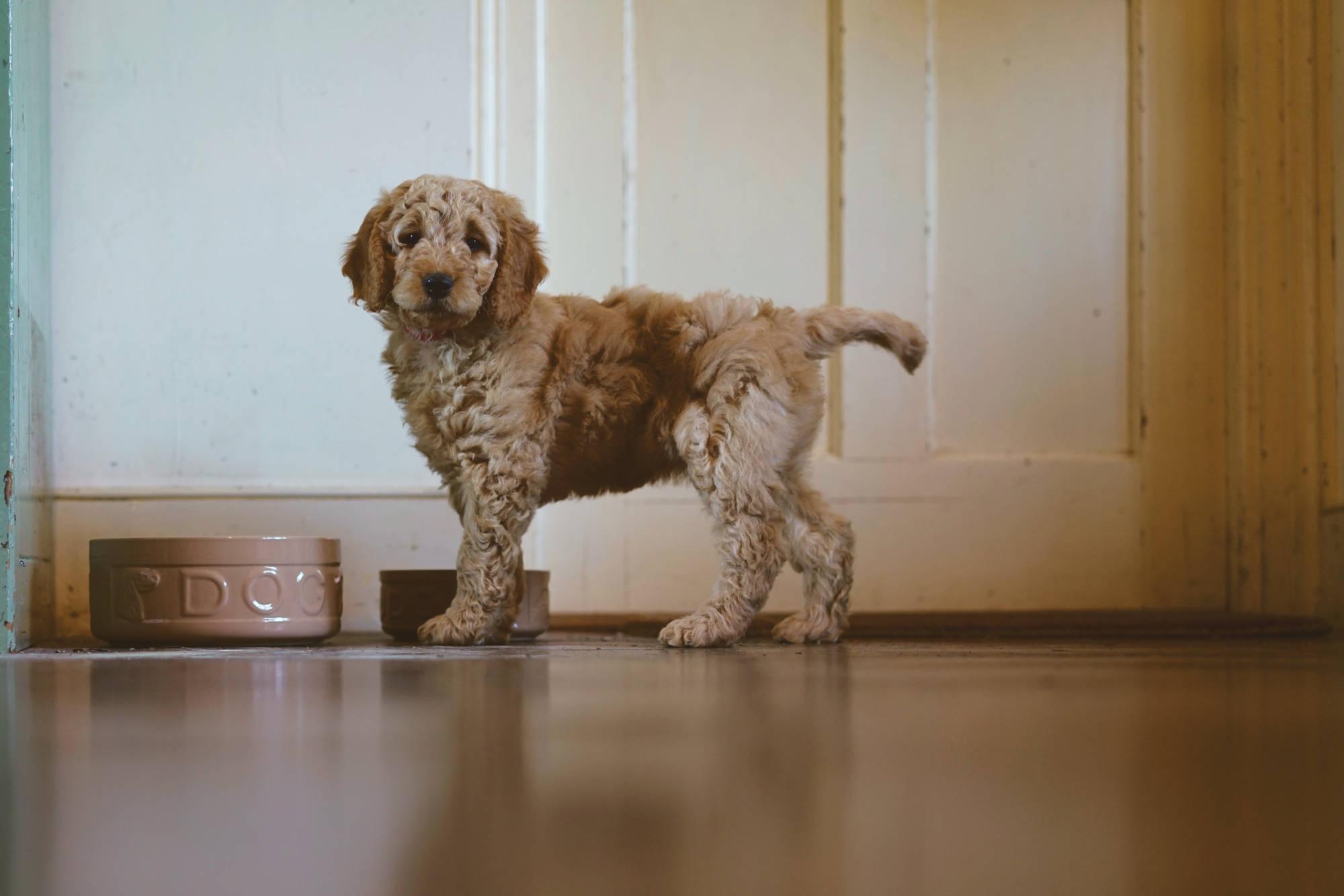 golden-doodle-puppy.jpg