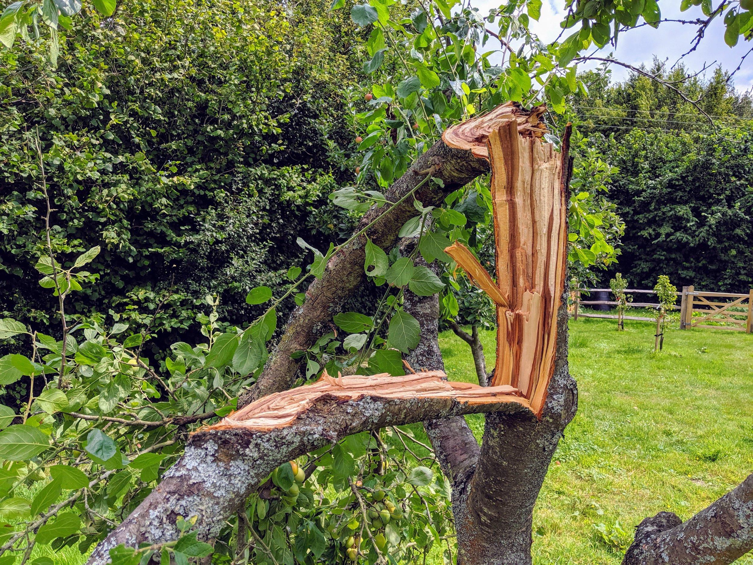 broken-plumb-tree.jpg