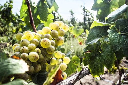 Lighthall Vineyards