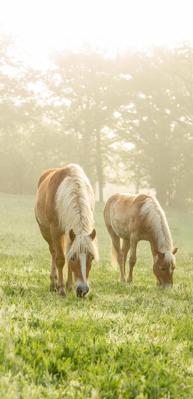 haflinger-horse-milk.jpg