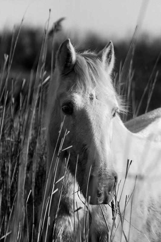 Camargue 10 (portrait dans les herbes).jpg