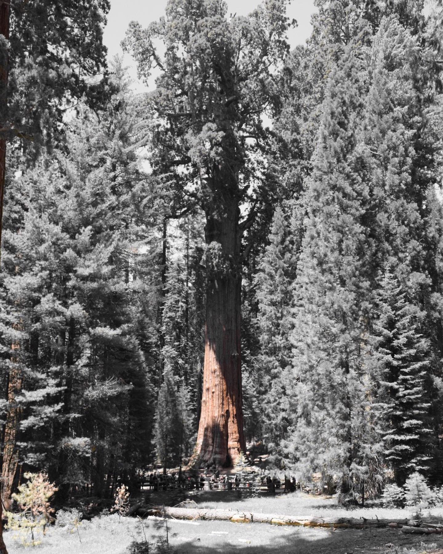 Ladies and Gentlement, may I present the largest living thing on earth. The General Sherman Tree.