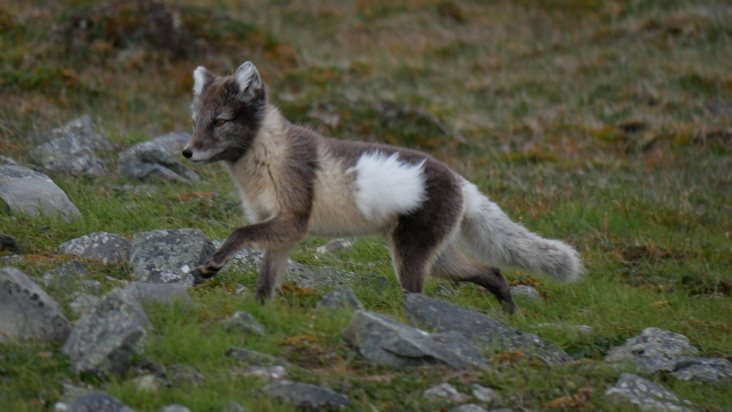 Emma got a nice wee snap of an Arctic Fox out on the prowl on the road out to Bjørndalen, still with a wee patch of its winter coat.