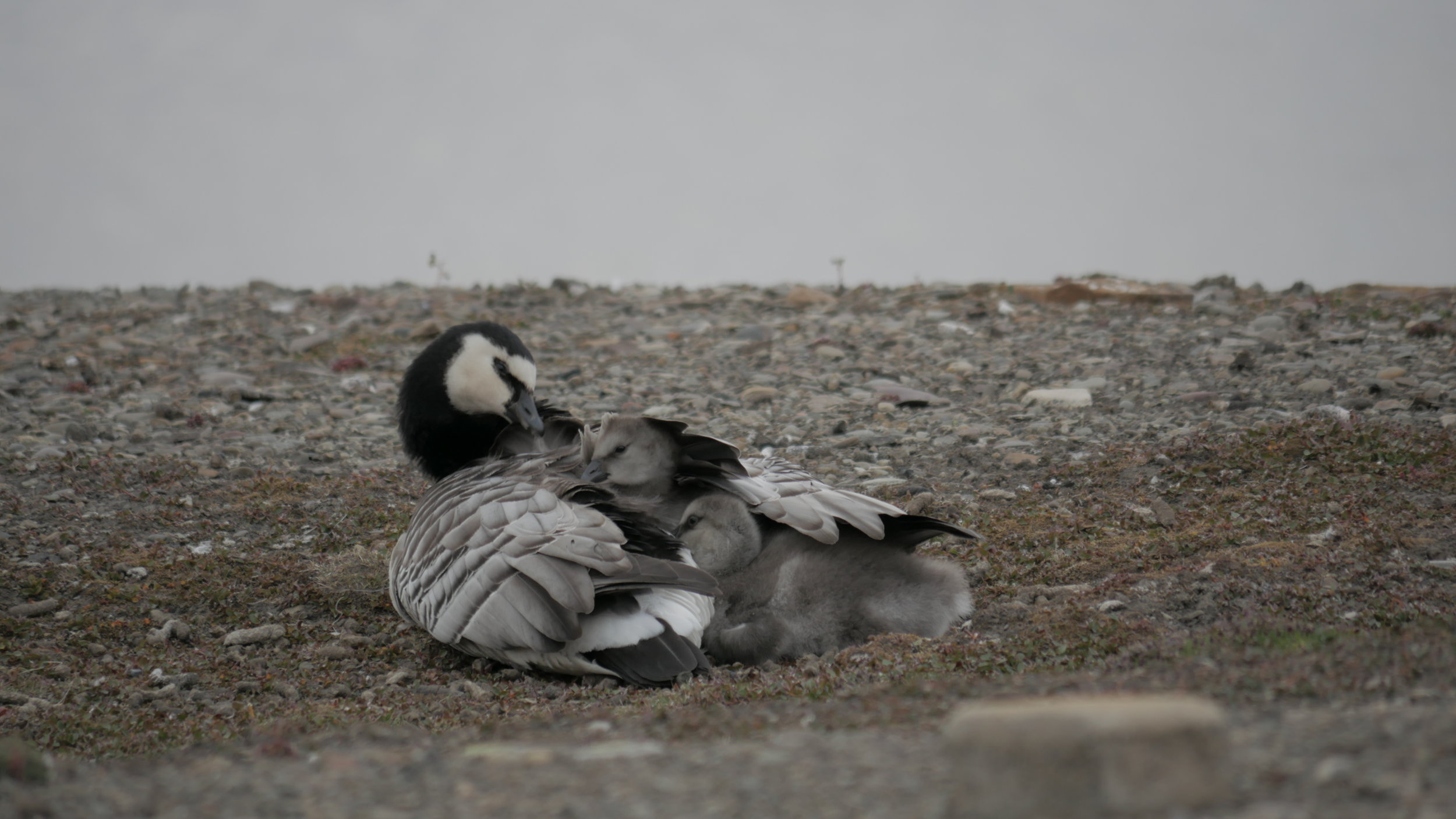 Super cute fluff balls under their maws wing… snuggletastic.