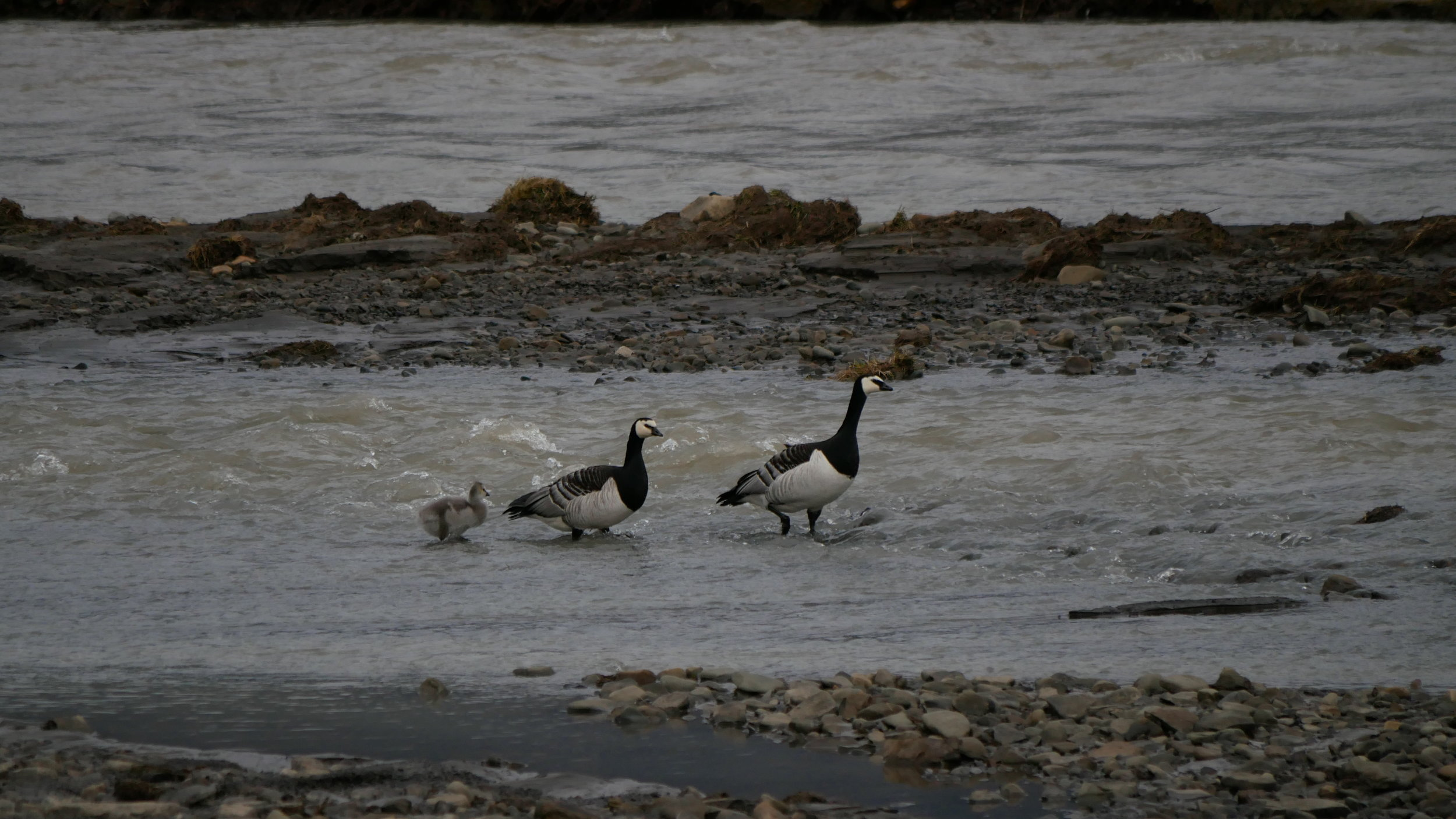 Maw and paw Barnie crossing the river with their bairn.