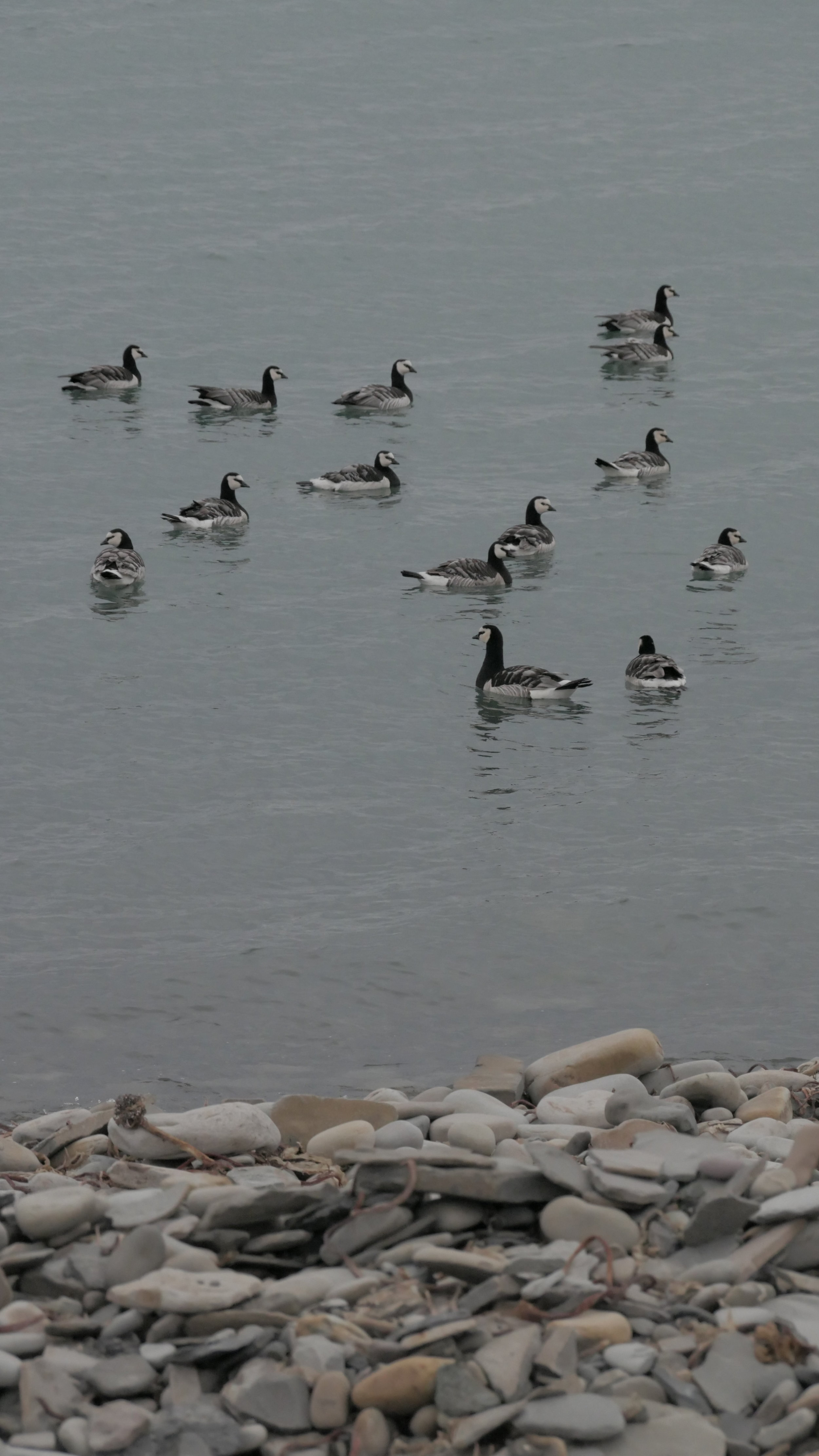 A group of Barnies down by the coastline along from the campsite.