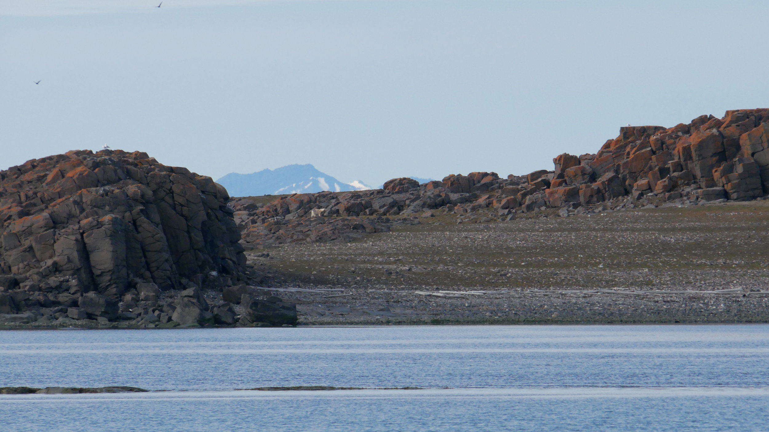 This was the closest we got to a polar bear, spotted cutting about Gåsøyane (Goose Island) on the prowl for nests.