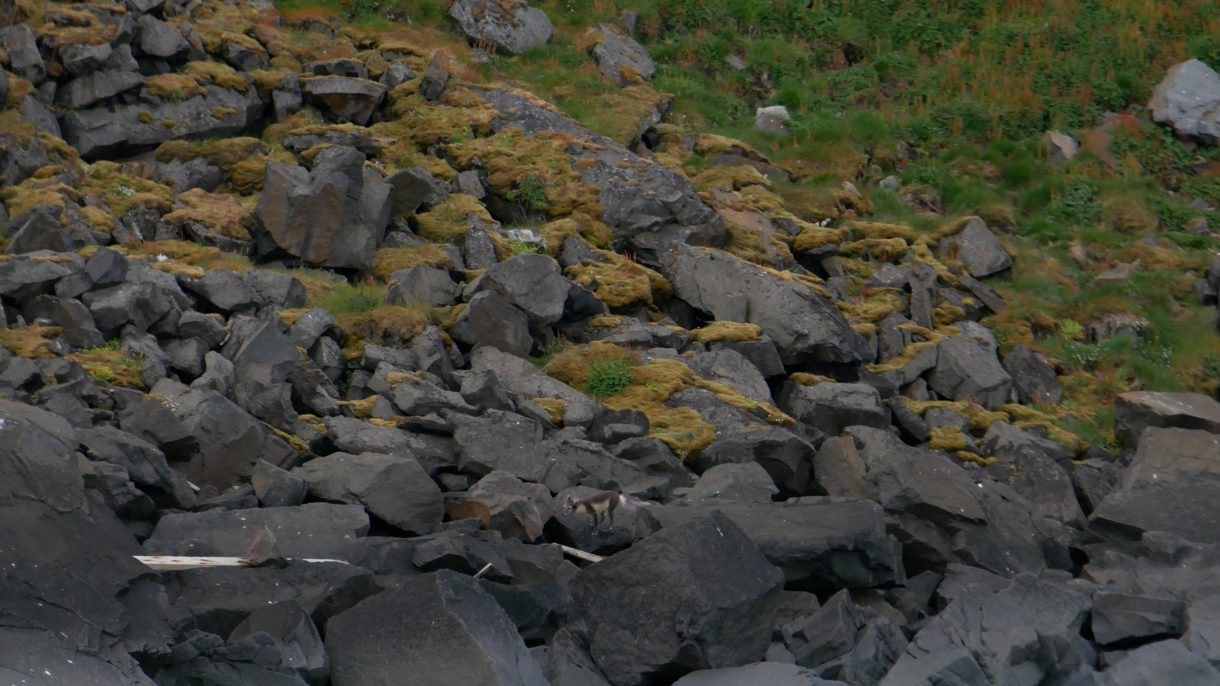 Arctic fox mooching about the bottom of the cliffs