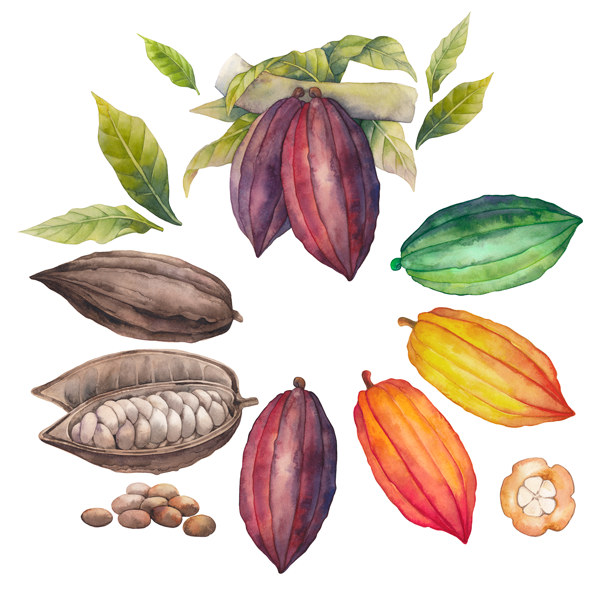 Cacao Pod Watercolor Graphic.png