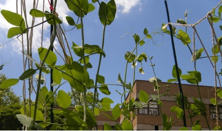 Pea Plants at Sprout Farms, Williamsburg Houses Beyond