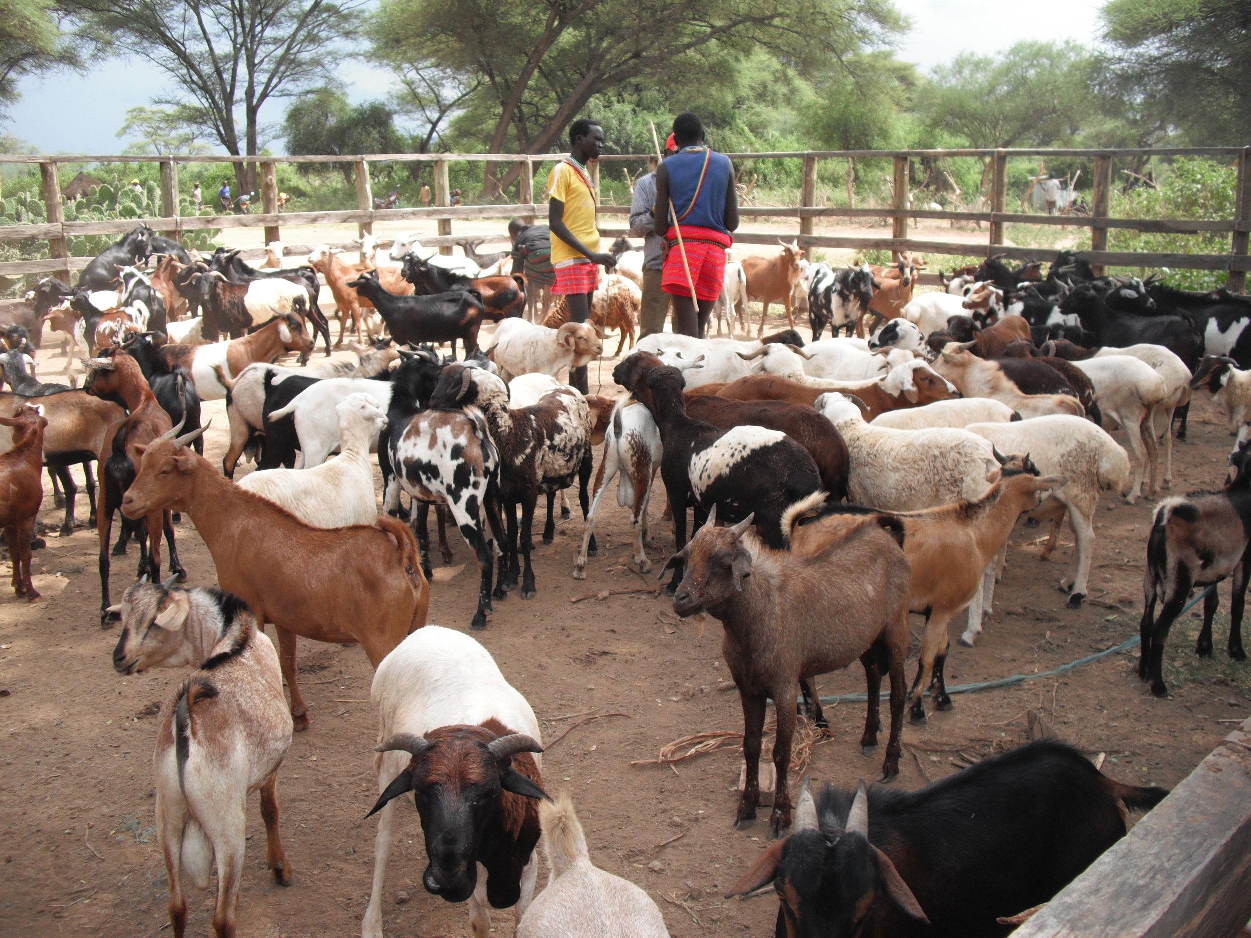 a thriving livestock economy, Pokot, Kenya.jpg