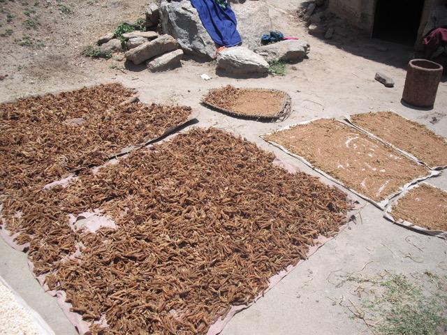 finger millet drying, Marakwet Kenya.jpeg