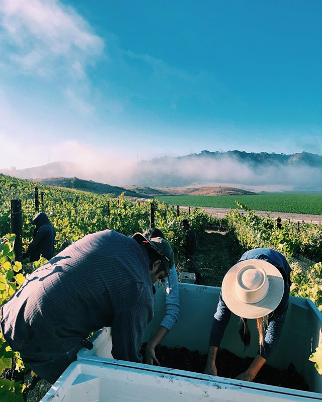 20 tons of grapes are off the vines at Chene & we've come full circle. I could not do this without the many helping hands, sunset vineyard walks & talks, & constant support from @scar_of_the_sea @farmerfranknarrowgate & @kirafores ☀️ The focus shifts to the winemaking for now, but after a little more rest & time to reflect & celebrate, the circle will continue… spreading compost, seeding our cover crop, building compost for next year, managing the weeds between the vines, and waiting for the rains... It's another opportunity to continue to learn & improve, restore, & listen 💚 #biodynamicfarming #knowyourfarmer