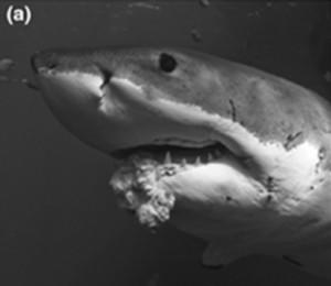 Shark Tumor