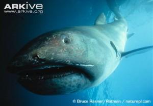 Megamouth-shark-300x208.jpg