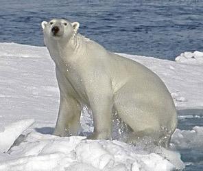 Polar Bear -CITES image